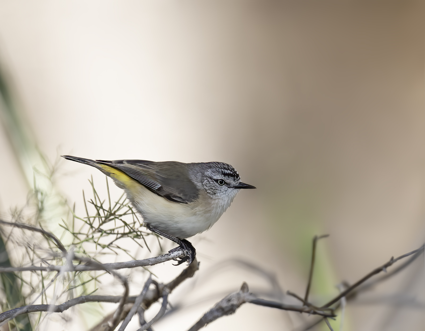 Yellow-rumped Thornbill (Image ID 44775)