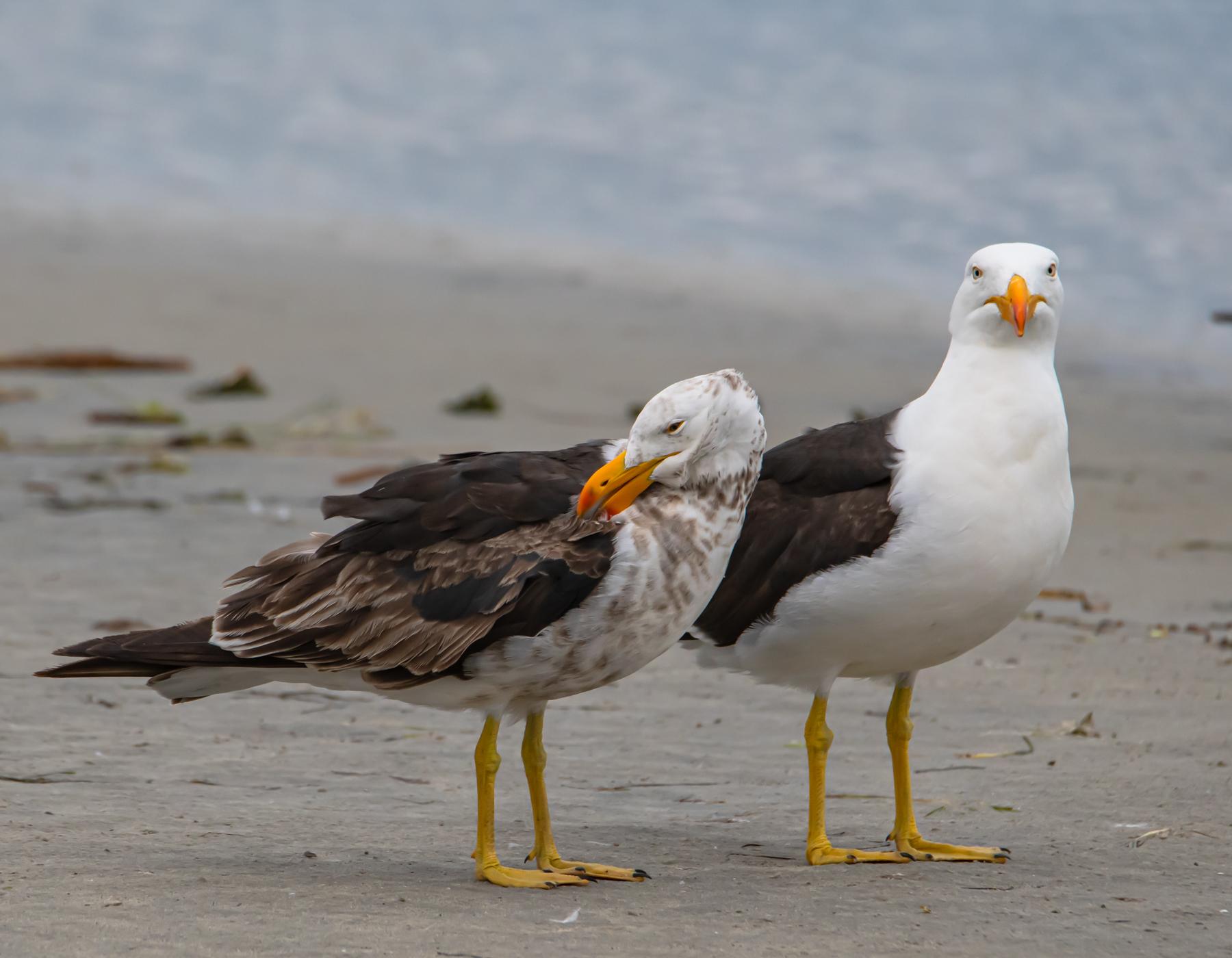 Pacific Gull (Image ID 44582)