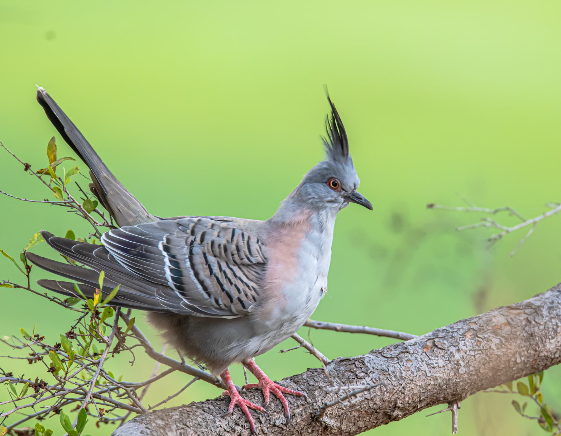Crested Pigeon (Image ID 44629)