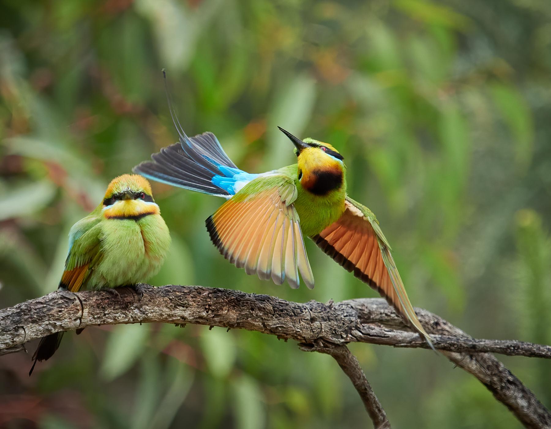 Rainbow Bee-eater (Image ID 44818)
