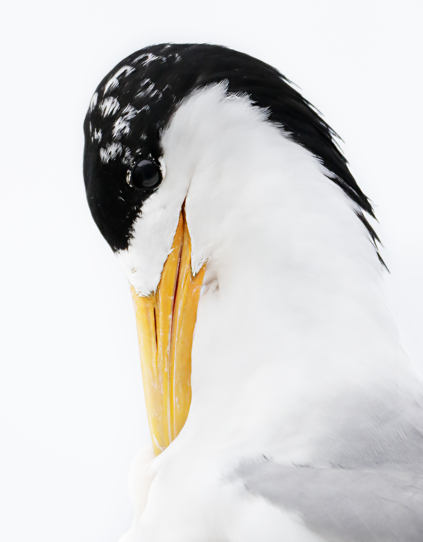 Greater Crested Tern (Image ID 44554)