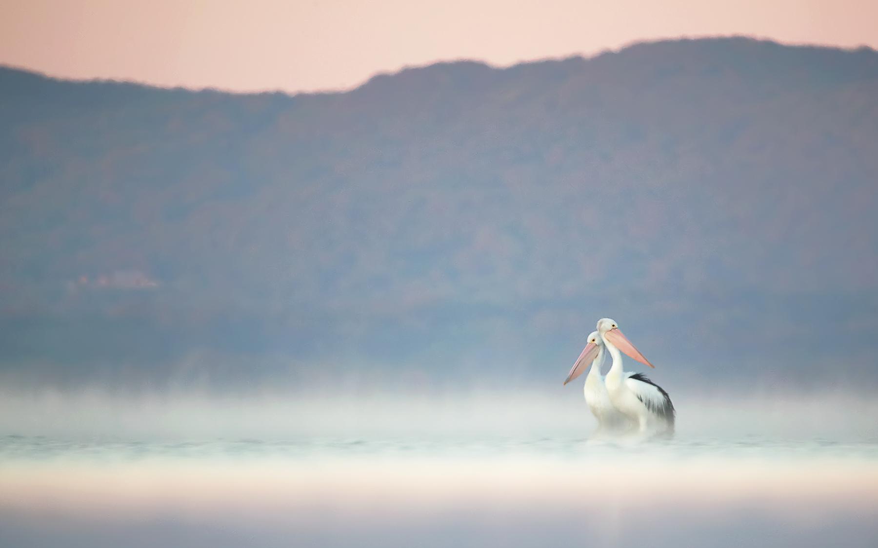 Australian Pelican (Image ID 44875)
