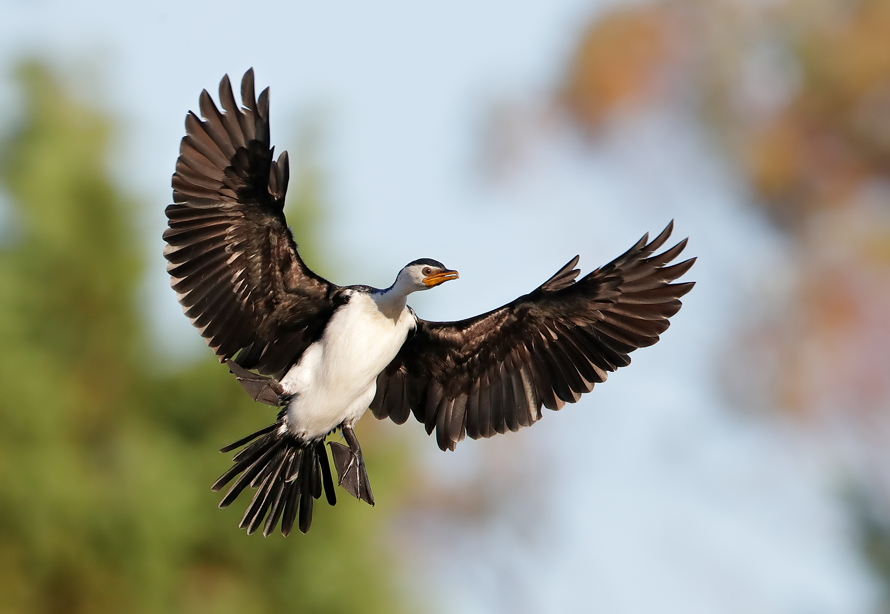 Little Pied Cormorant (Image ID 44556)
