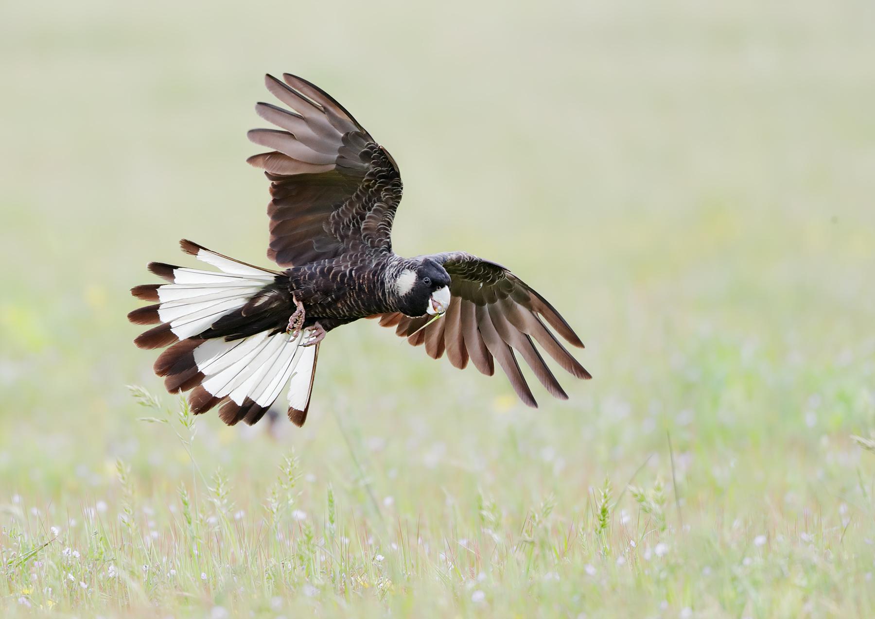 Carnaby's Black-Cockatoo (Image ID 44921)