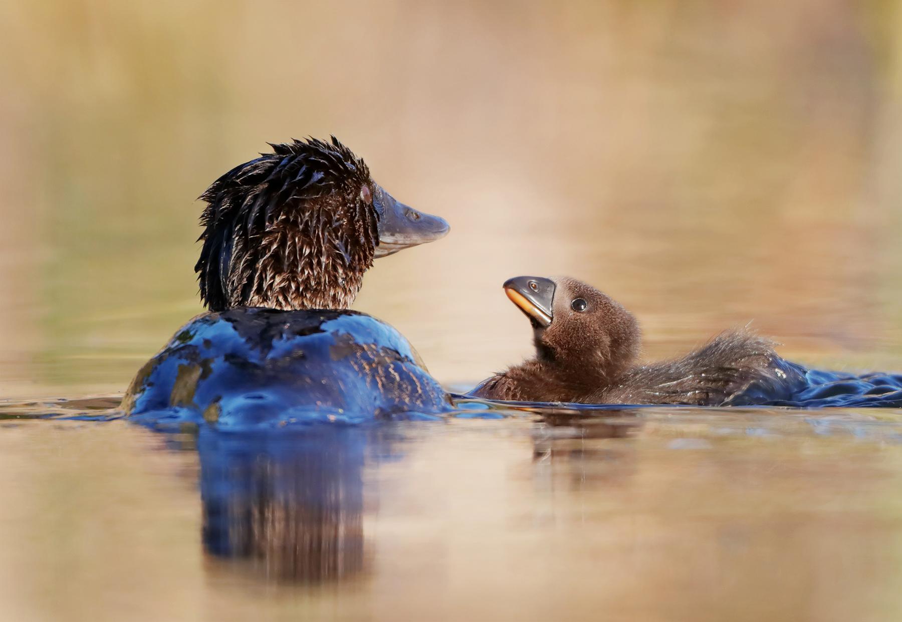 Musk Duck (Image ID 44922)