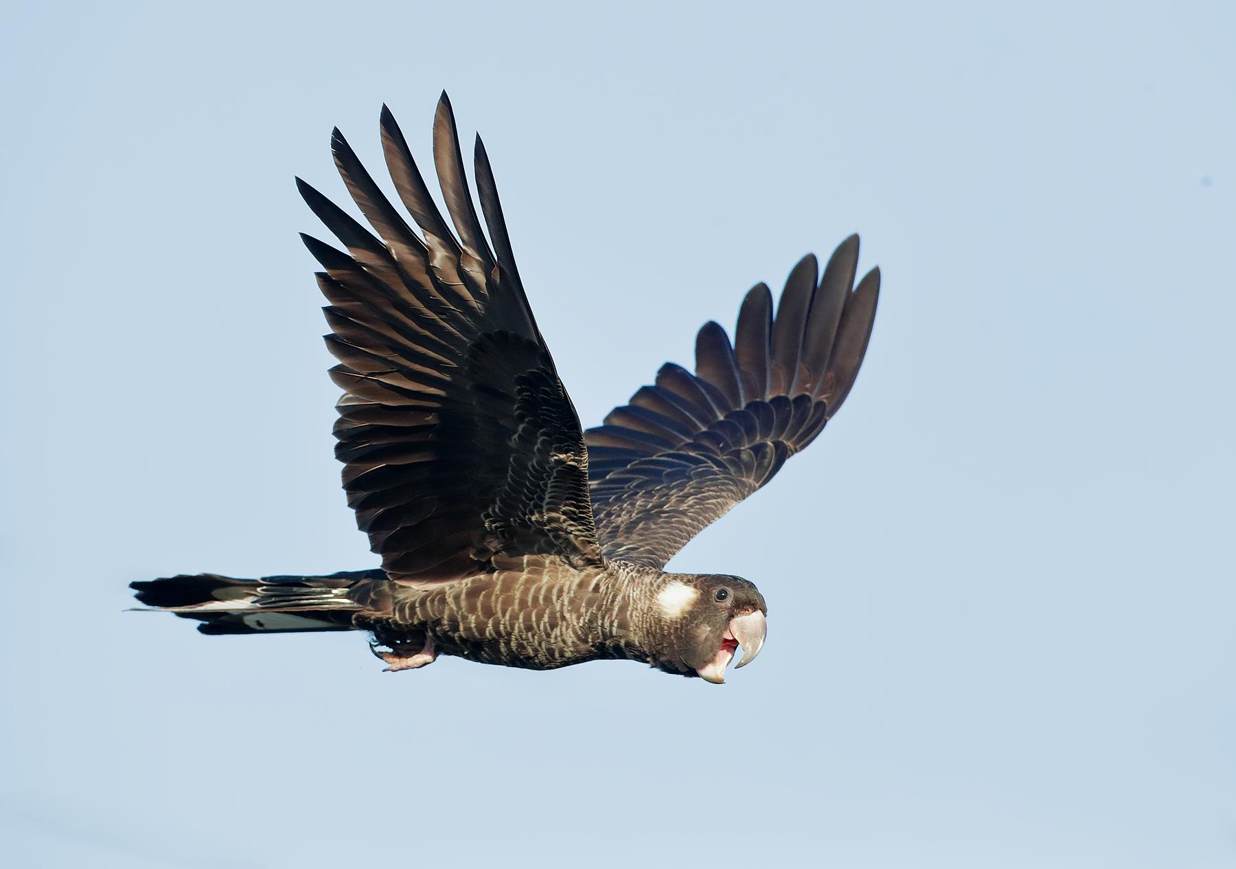 Baudin's Black-Cockatoo (Image ID 44935)