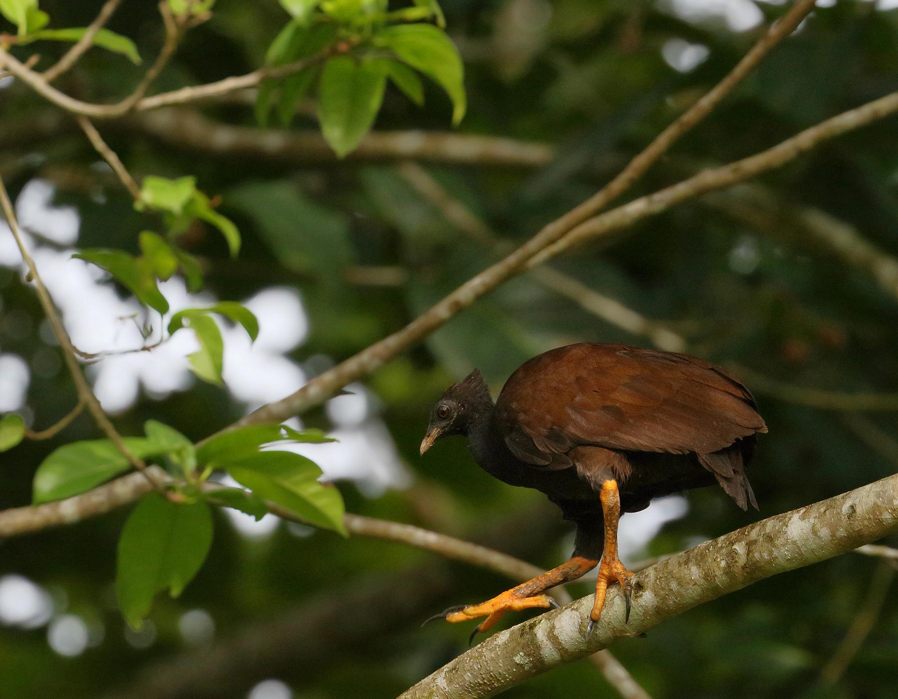 Orange-footed Scrubfowl (Image ID 44780)