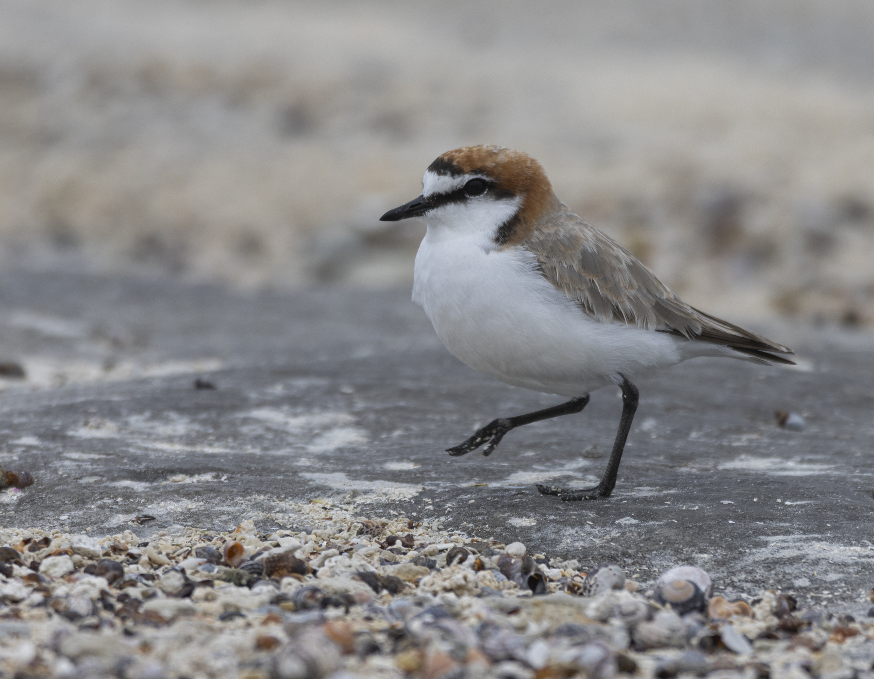 Red-capped Plover (Image ID 44691)