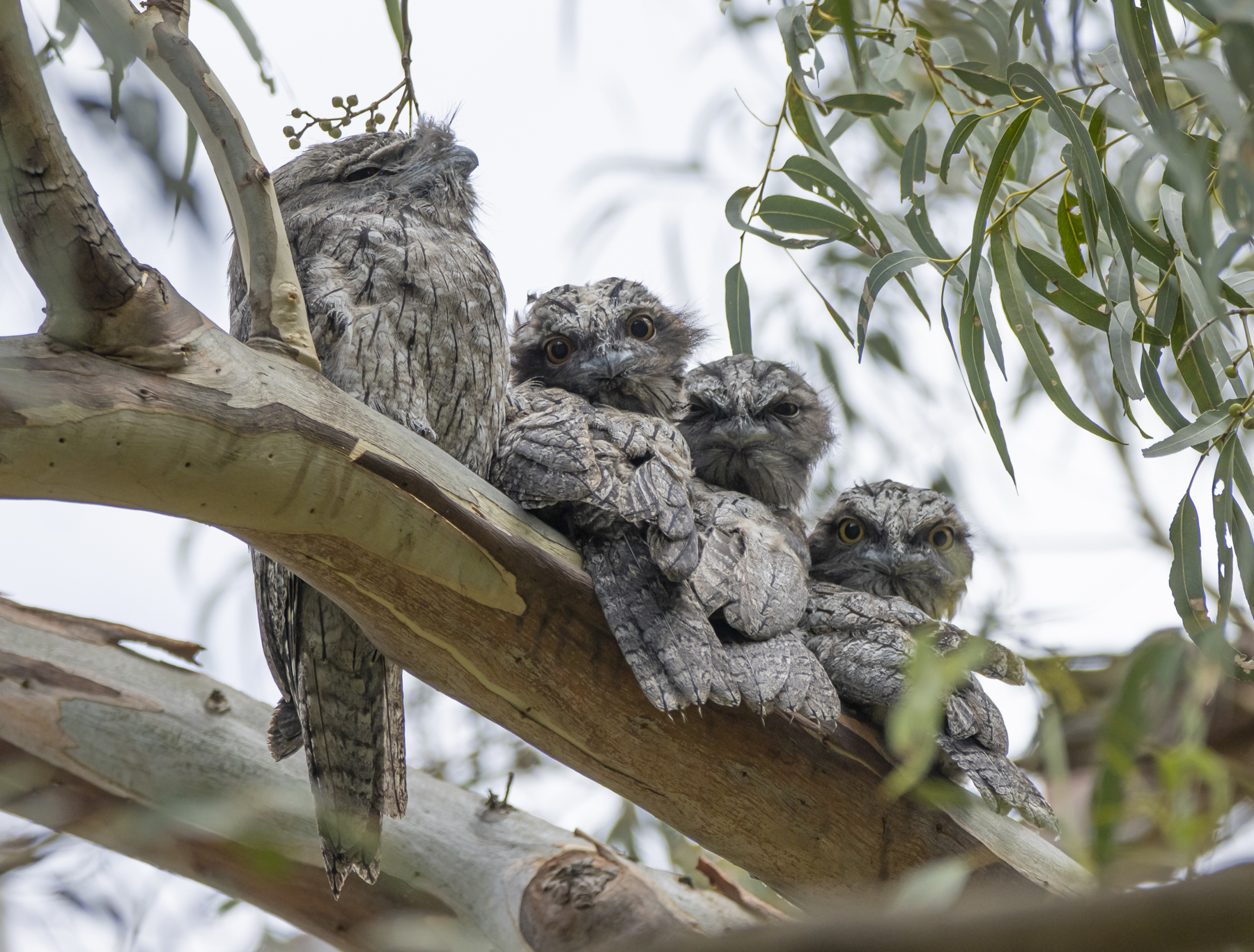 Tawny Frogmouth (Image ID 44829)