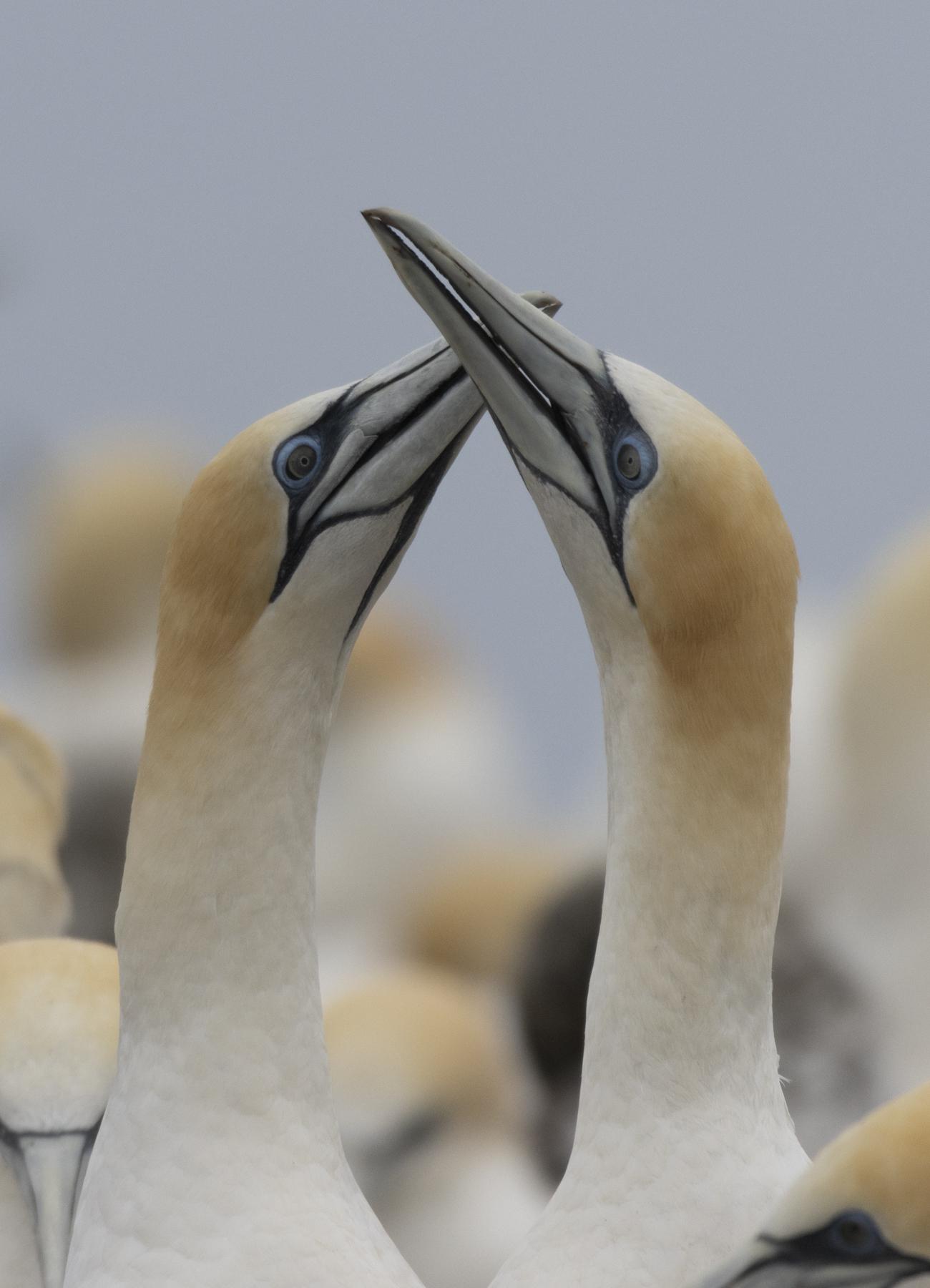 Australasian Gannet (Image ID 44689)