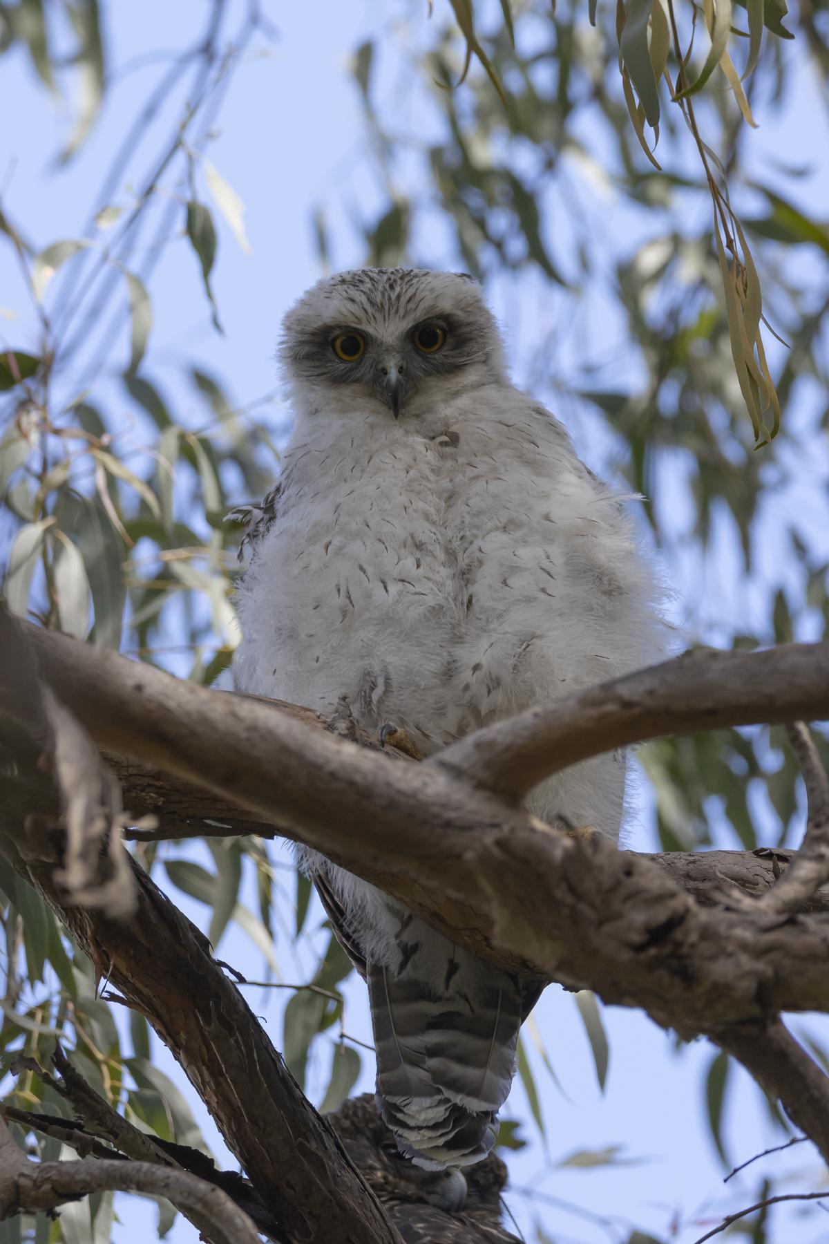 Powerful Owl (Image ID 44858)