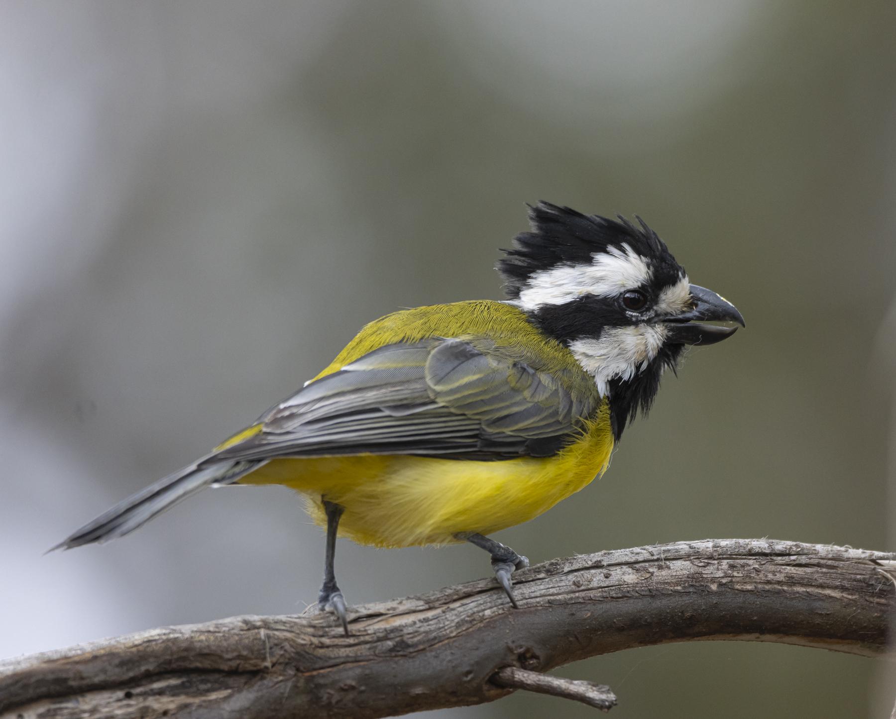 Eastern Shrike-tit (Image ID 45050)