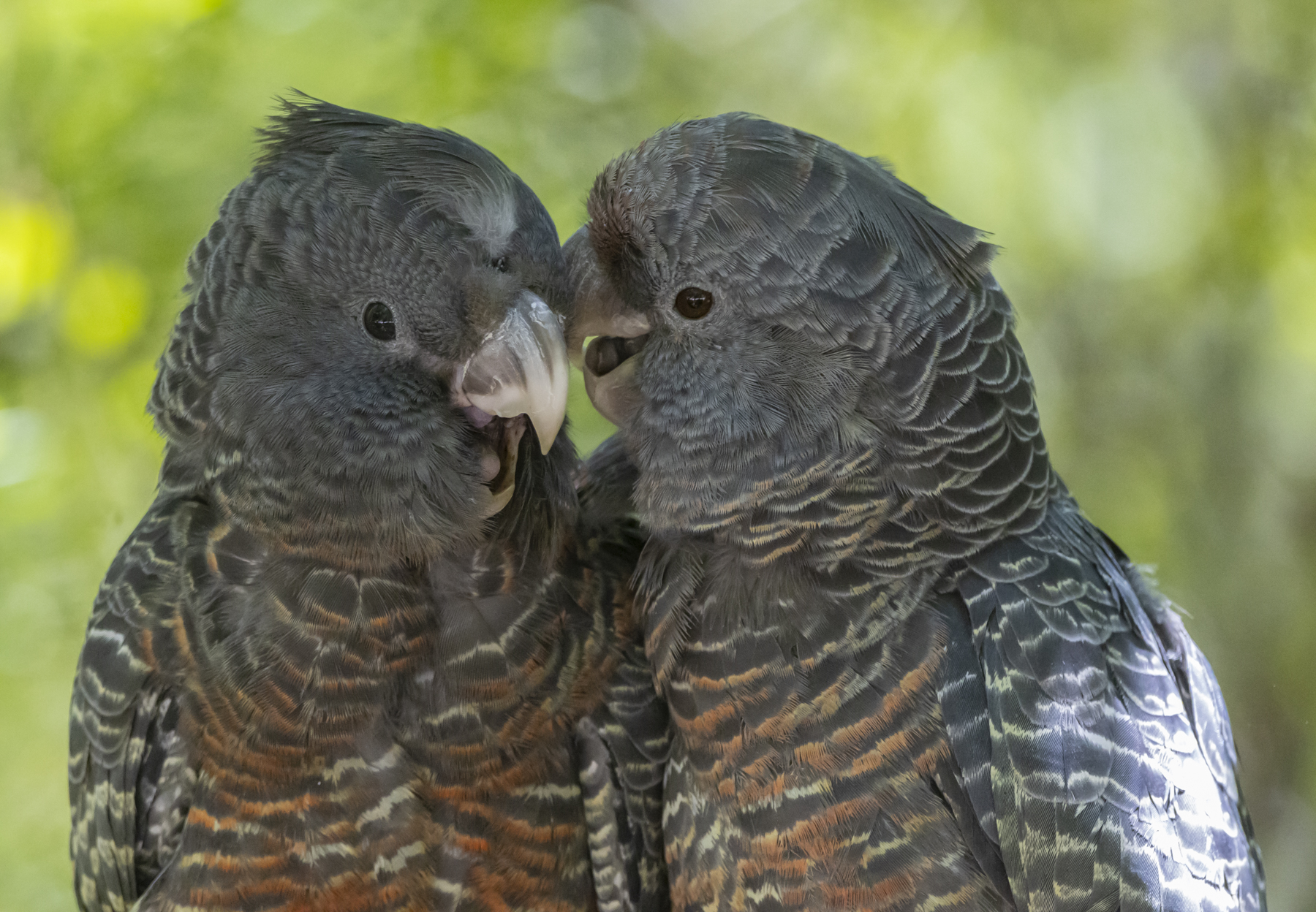 Gang-gang Cockatoo (Image ID 44832)
