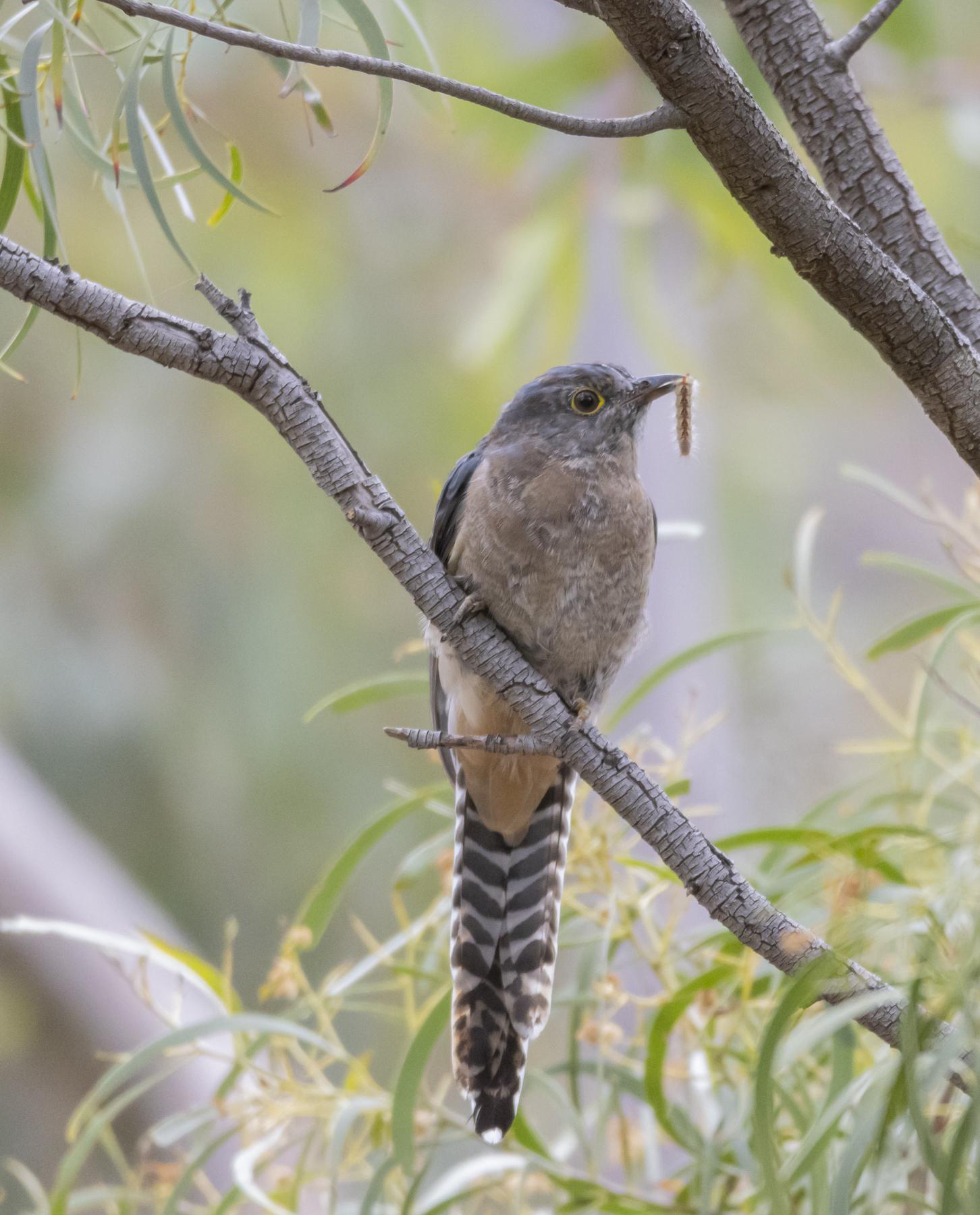 Fan-tailed Cuckoo (Image ID 45018)