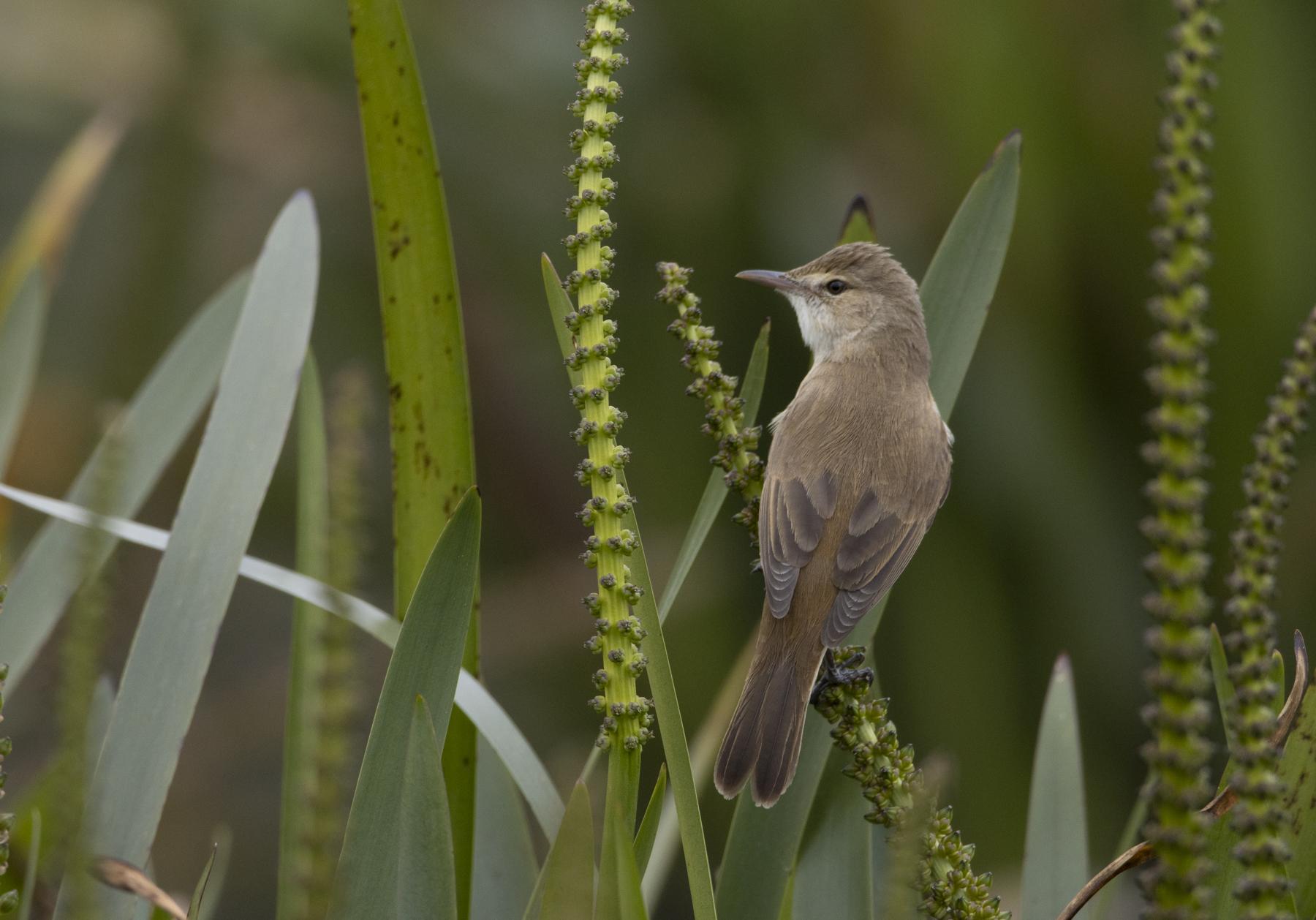 Australian Reed-Warbler (Image ID 44723)