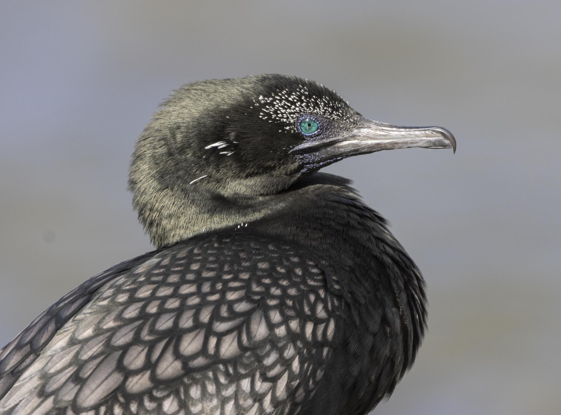 Little Black Cormorant (Image ID 44766)