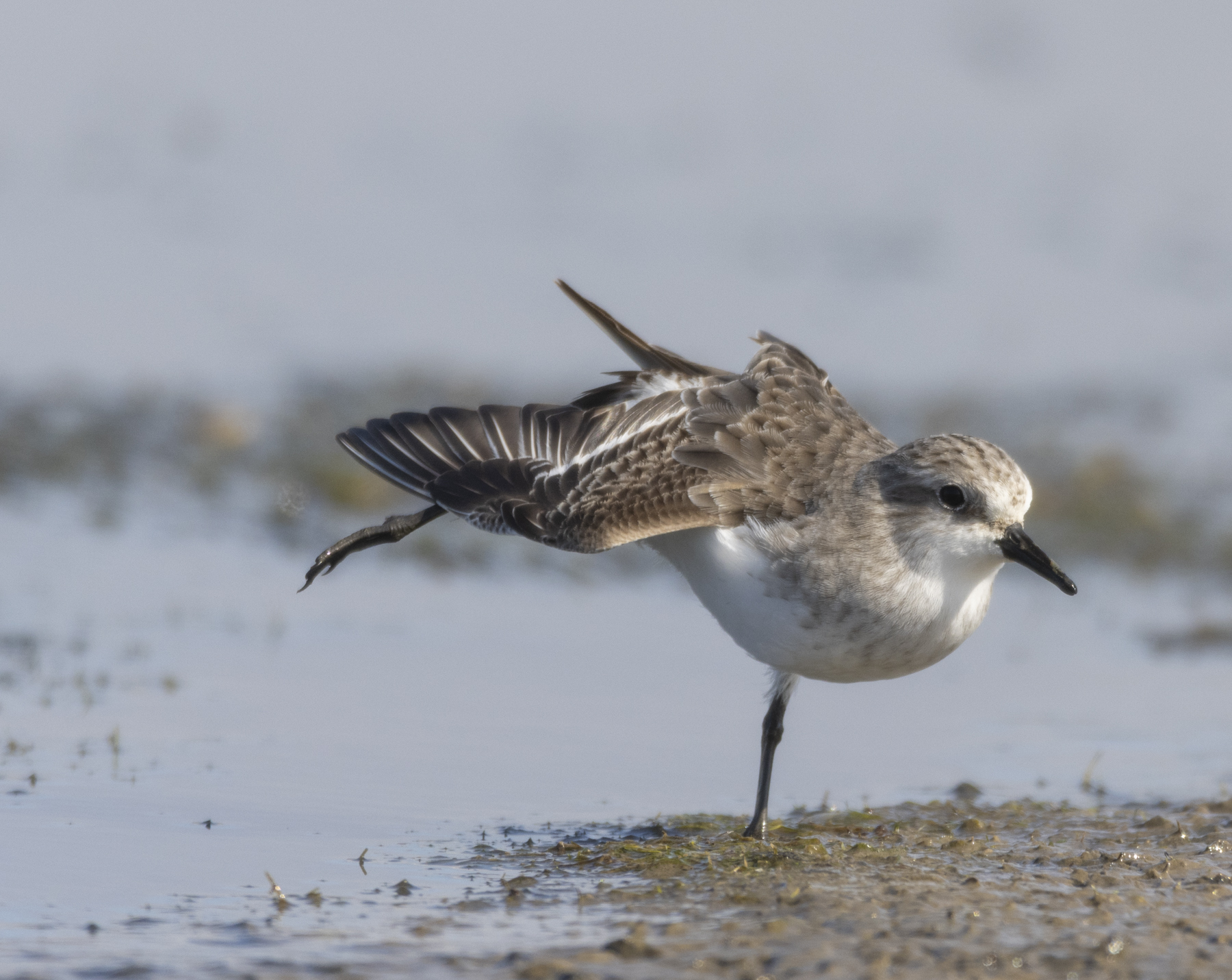 Red-necked Stint (Image ID 44783)
