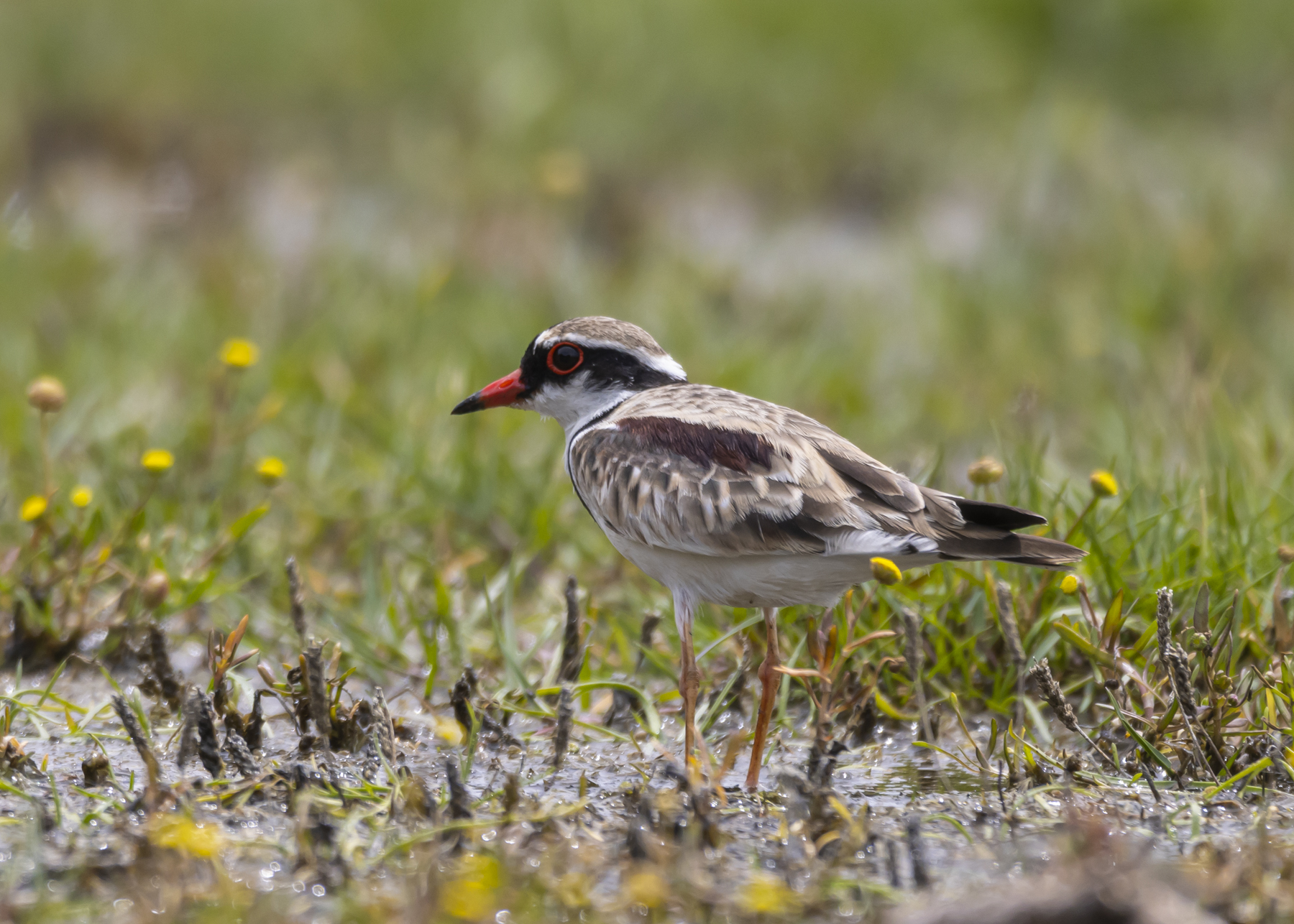 Black-fronted Dotterel (Image ID 44782)