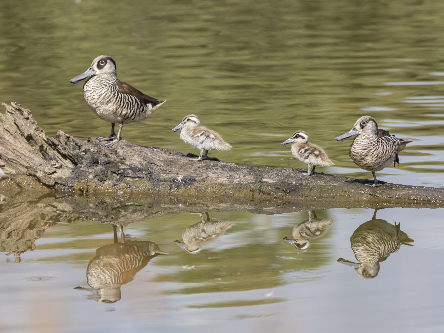 Pink-eared Duck (Image ID 44977)