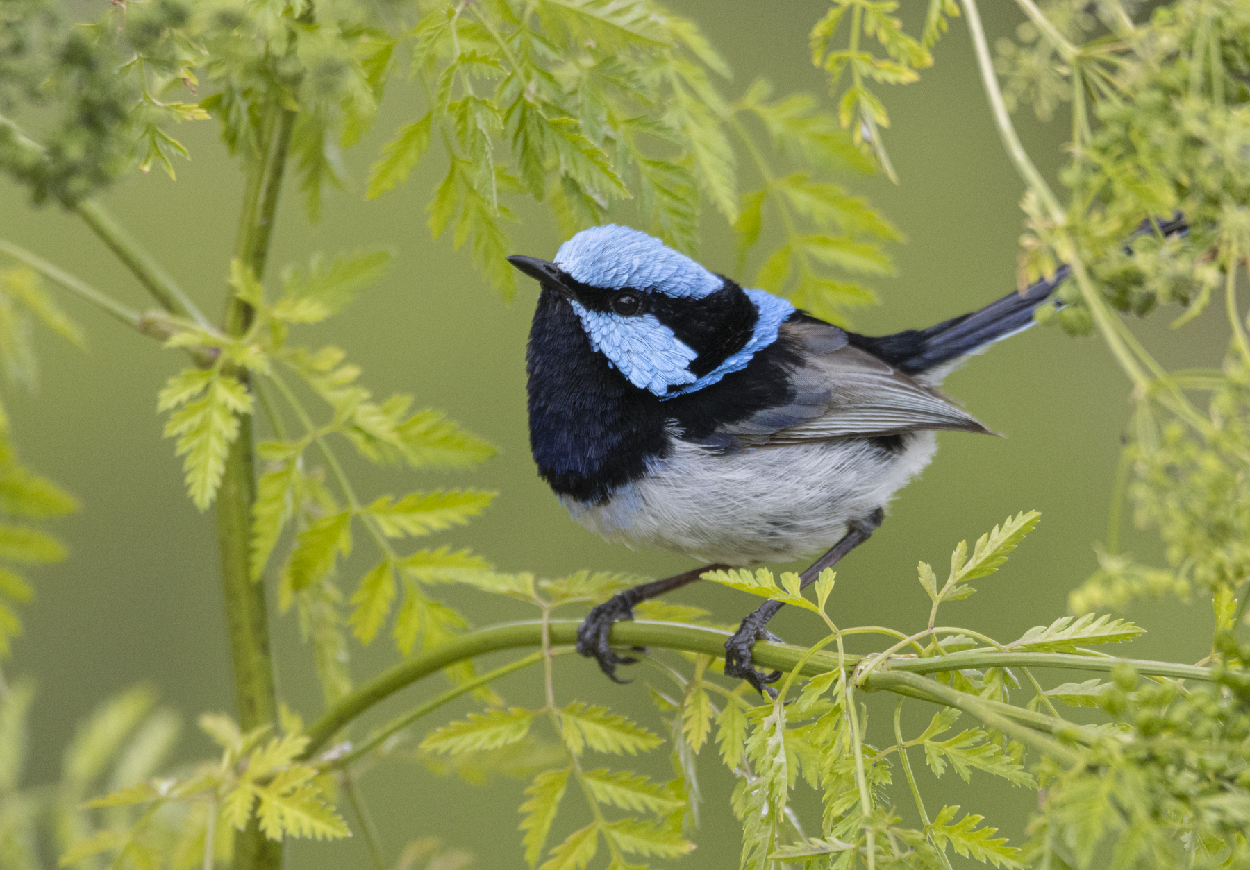 Superb Fairy-wren (Image ID 44859)