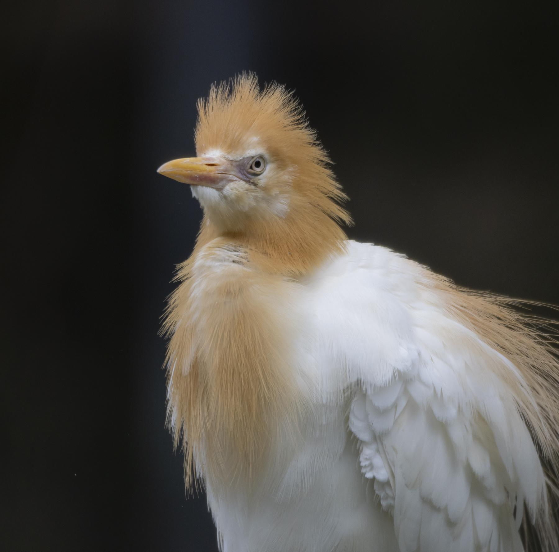 Cattle Egret (Image ID 45051)