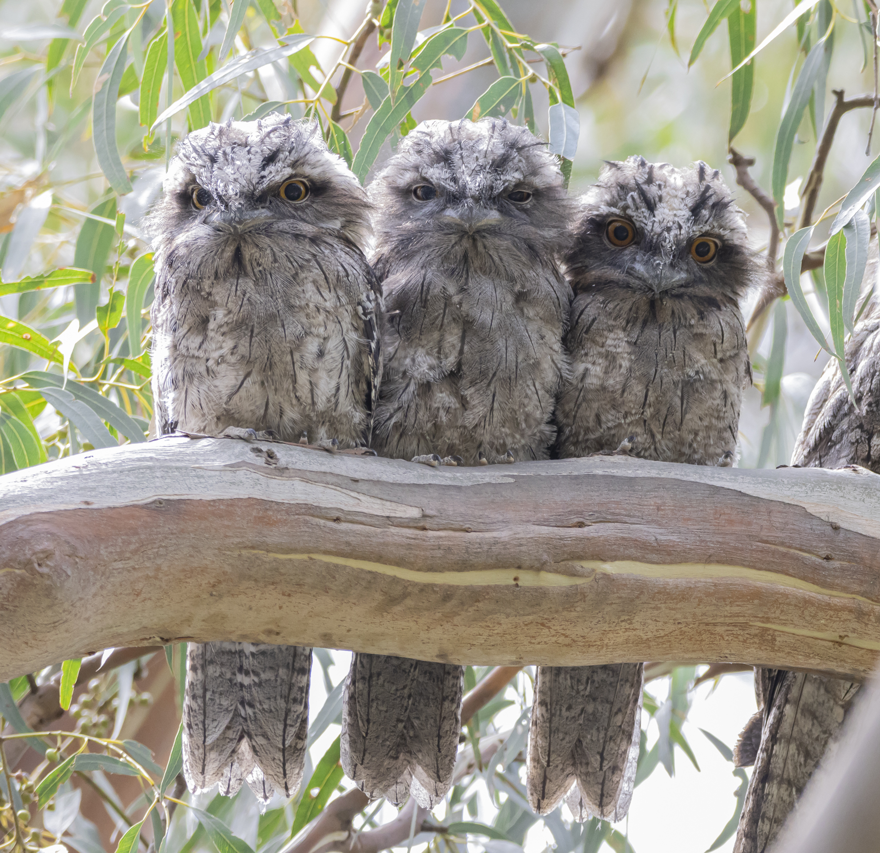 Tawny Frogmouth (Image ID 45020)