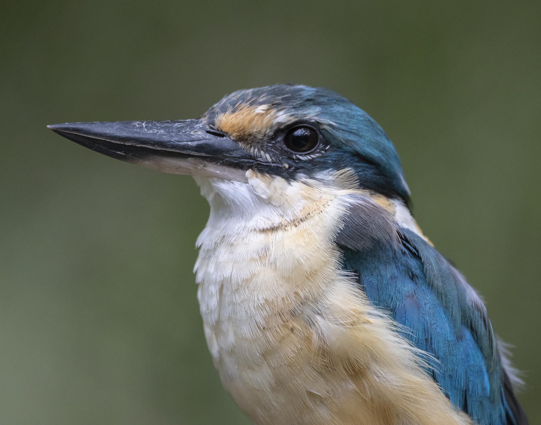 Sacred Kingfisher (Image ID 44976)