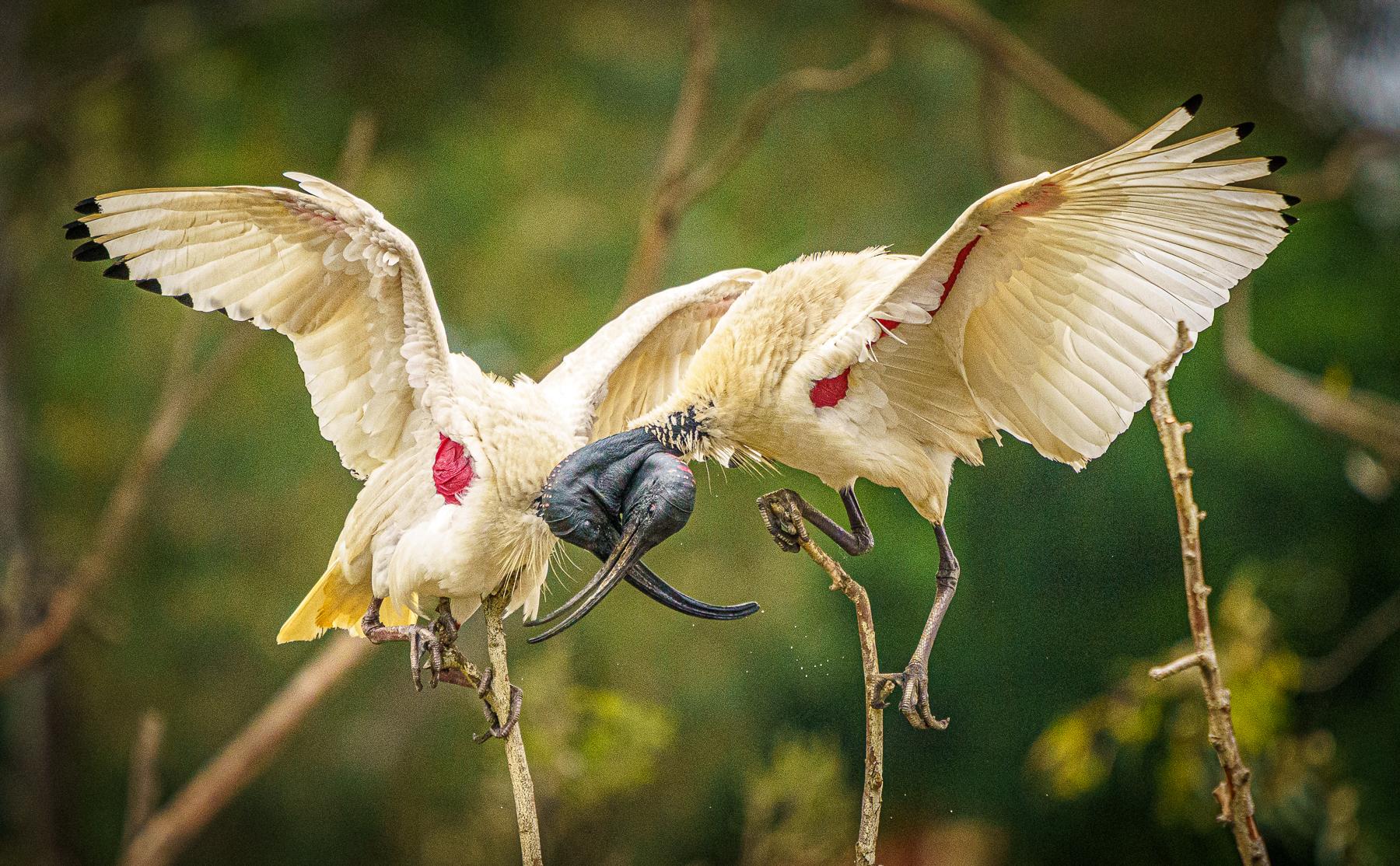 Australian White Ibis (Image ID 44713)