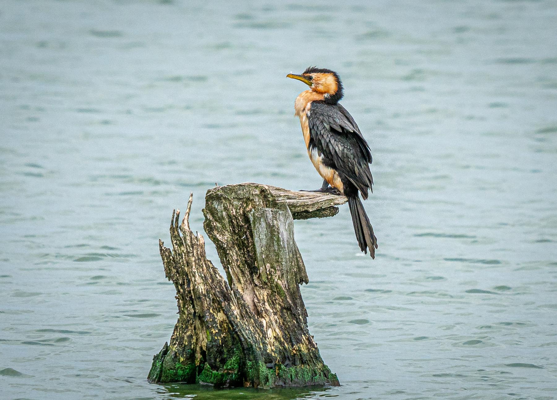 Little Pied Cormorant (Image ID 44718)