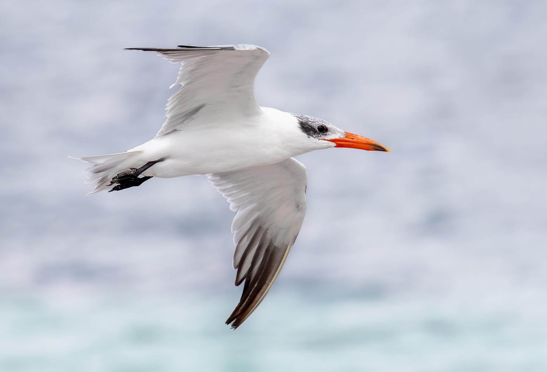 Caspian Tern (Image ID 44601)