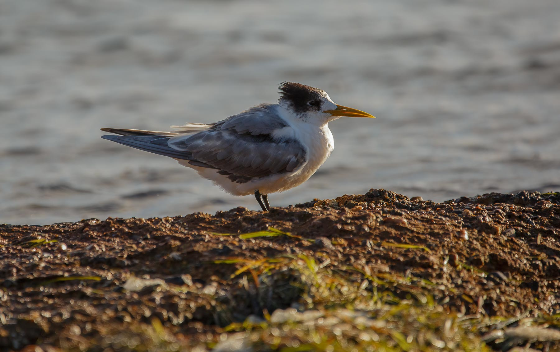 Greater Crested Tern (Image ID 44851)