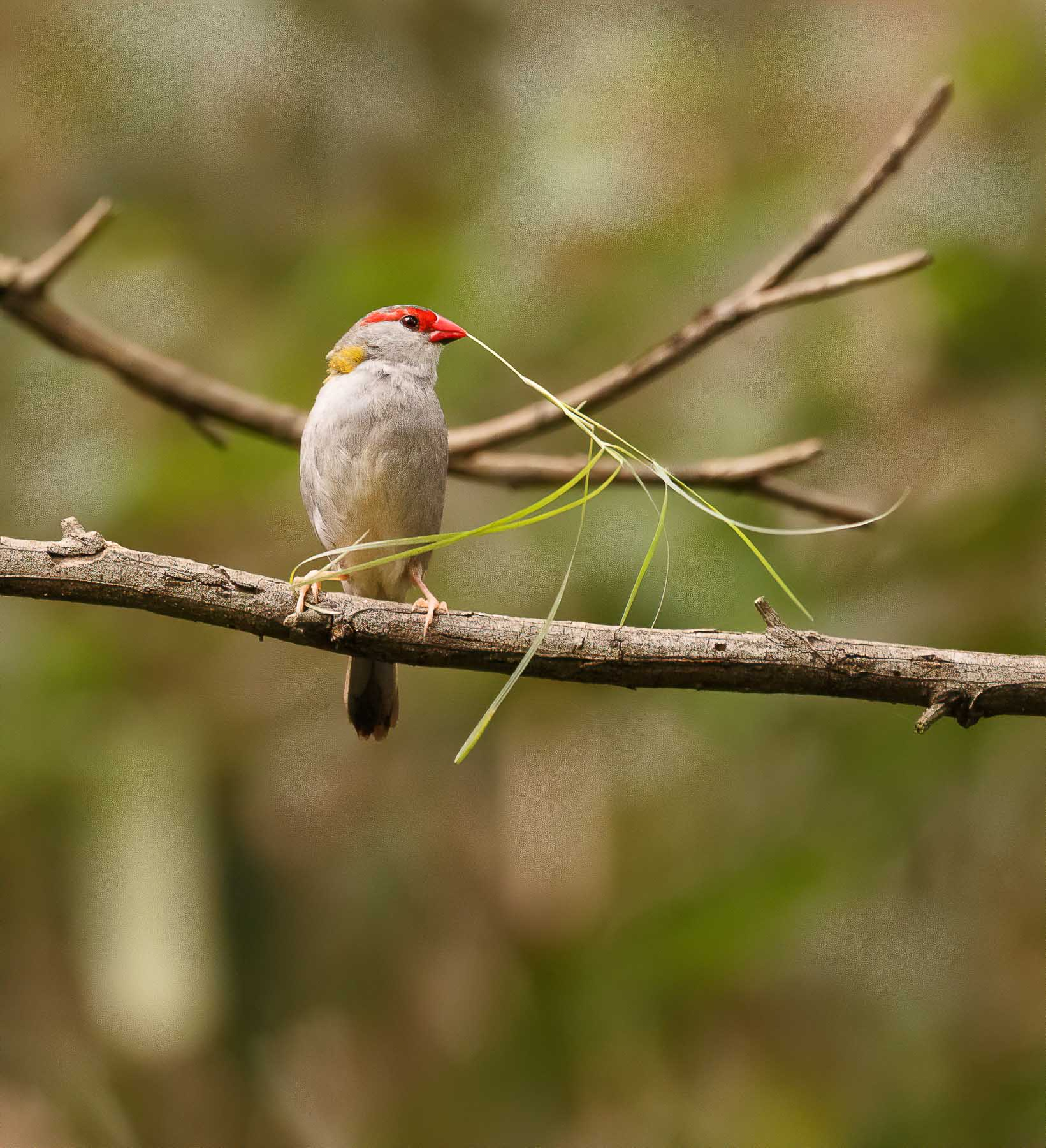 Red-browed Finch (Image ID 45025)