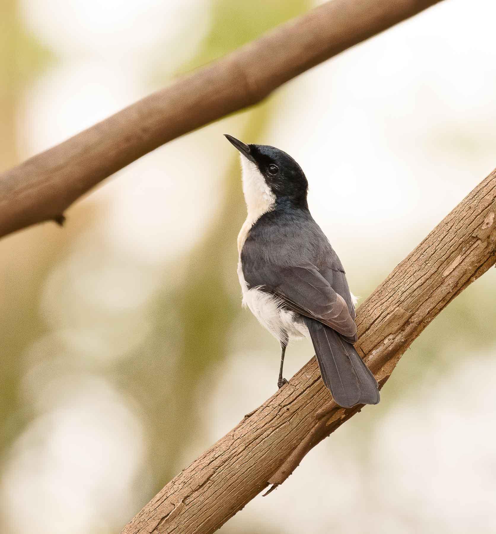 Restless Flycatcher (Image ID 44694)