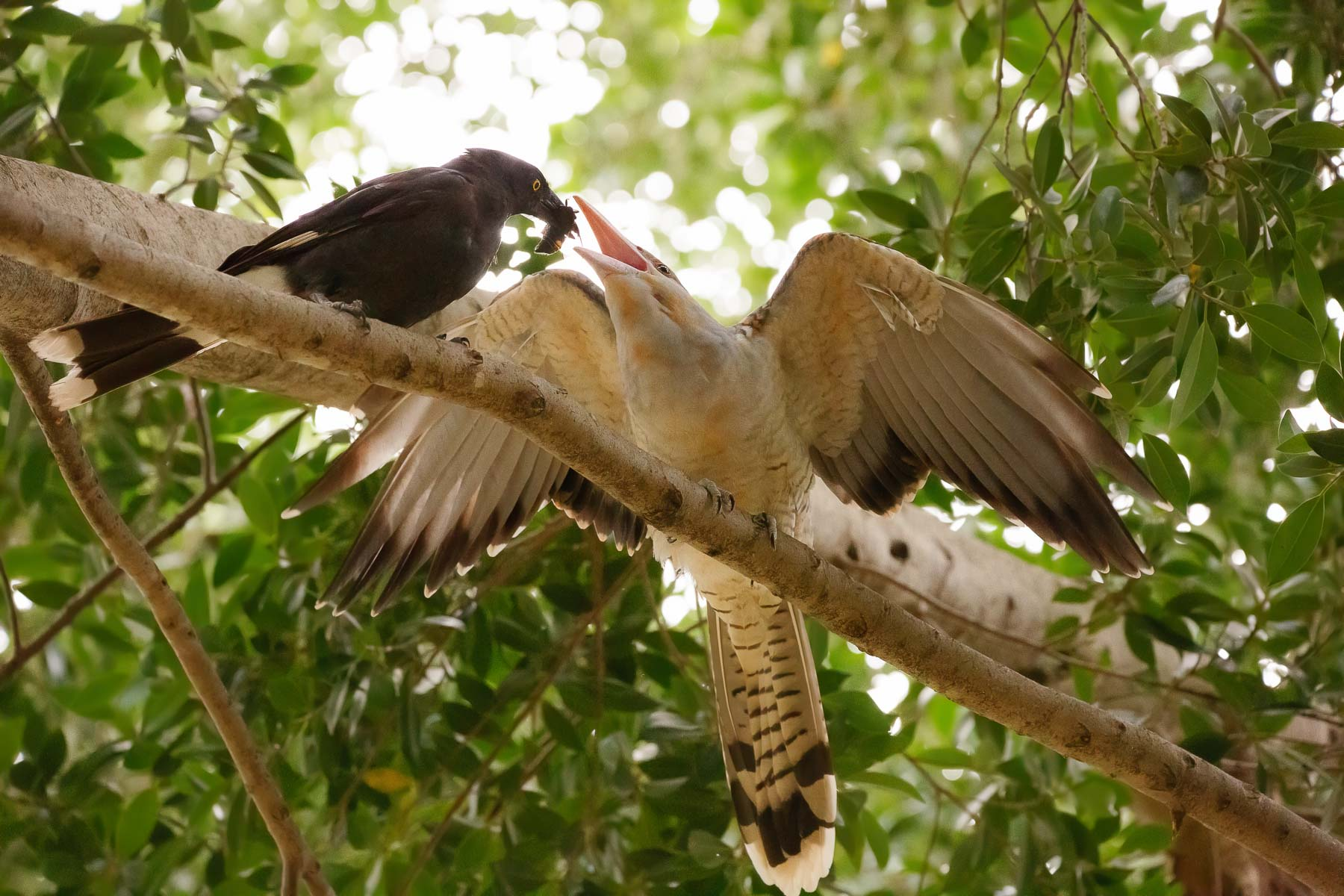 Channel-billed Cuckoo, Pied Currawong (Image ID 44636)