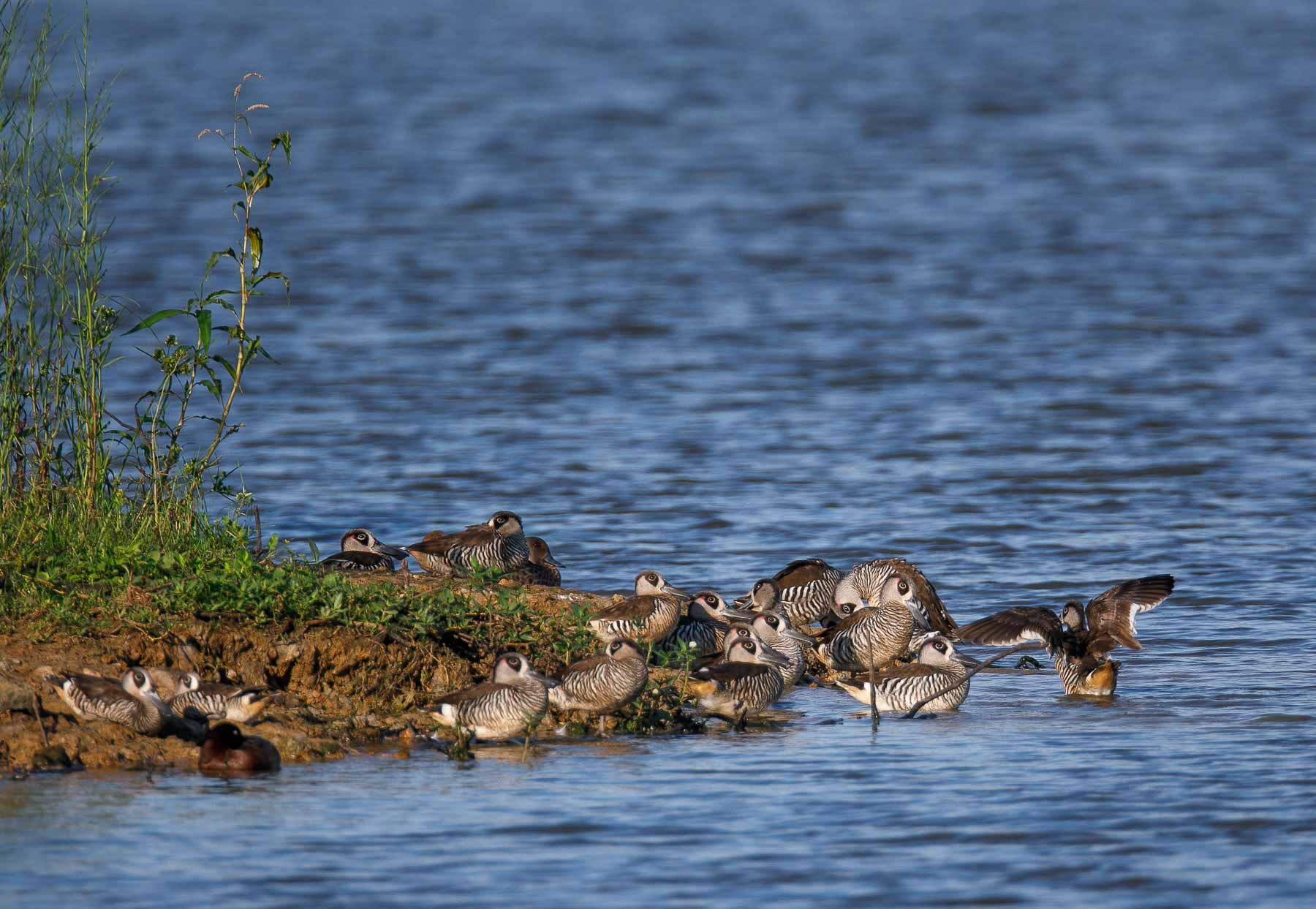 Pink-eared Duck (Image ID 44545)