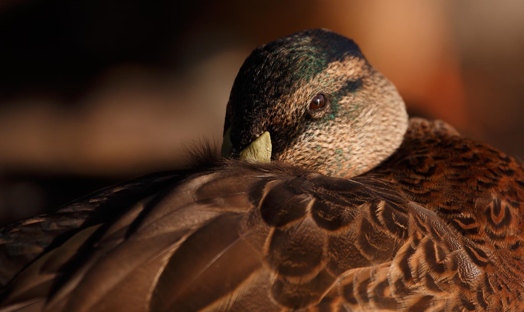 Mallard, Pacific Black Duck (Image ID 44849)