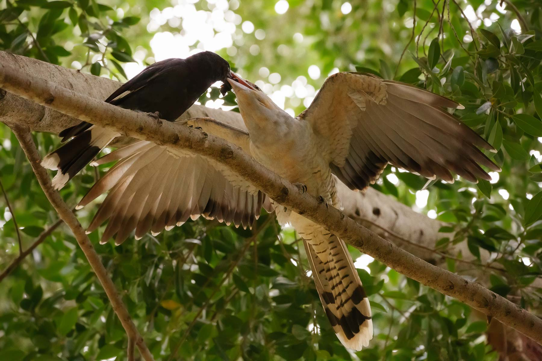 Channel-billed Cuckoo, Pied Currawong (Image ID 44637)