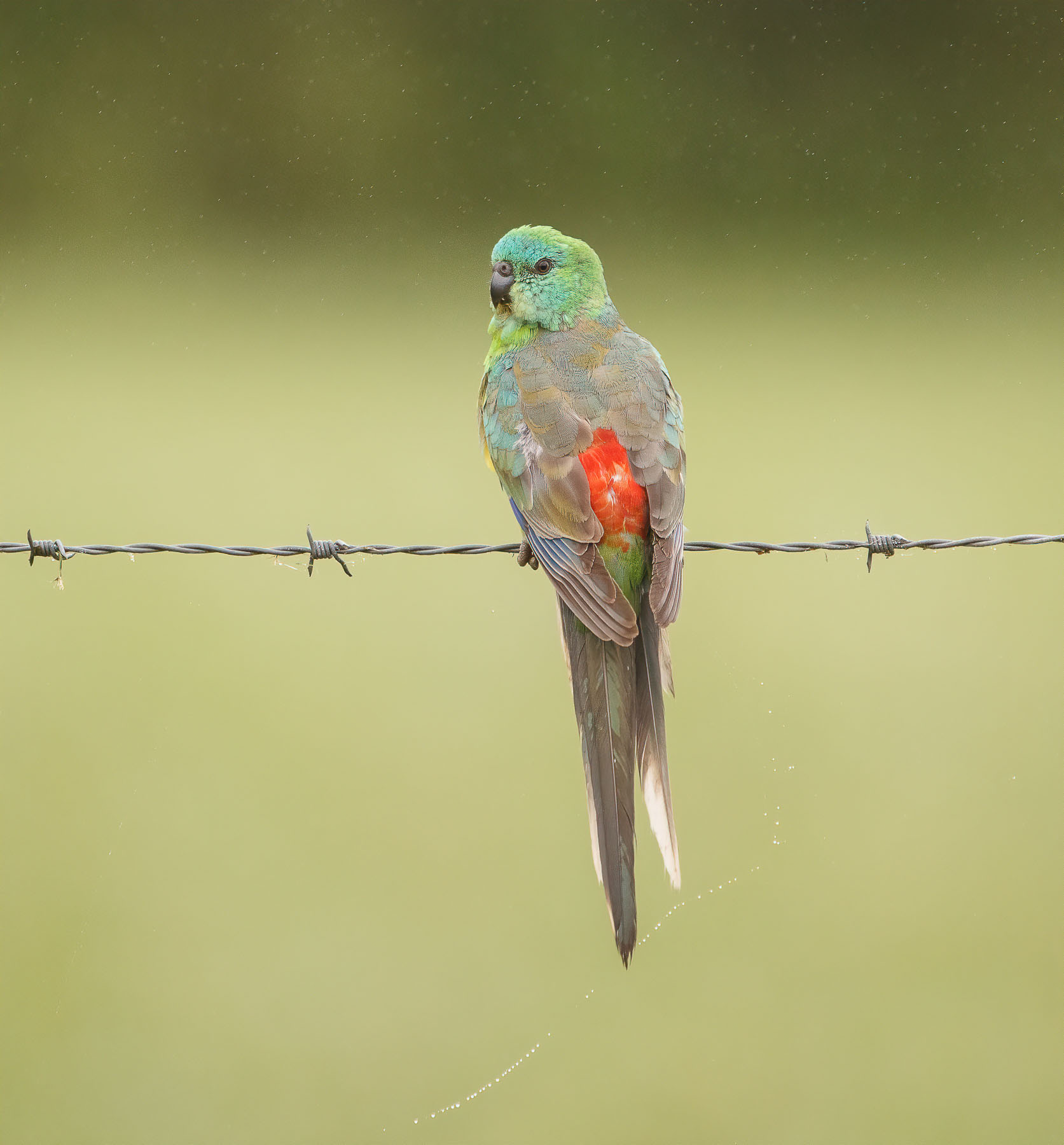 Red-rumped Parrot (Image ID 45024)