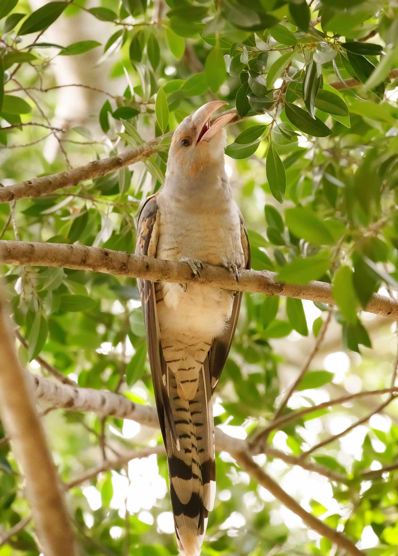 Channel-billed Cuckoo (Image ID 44638)