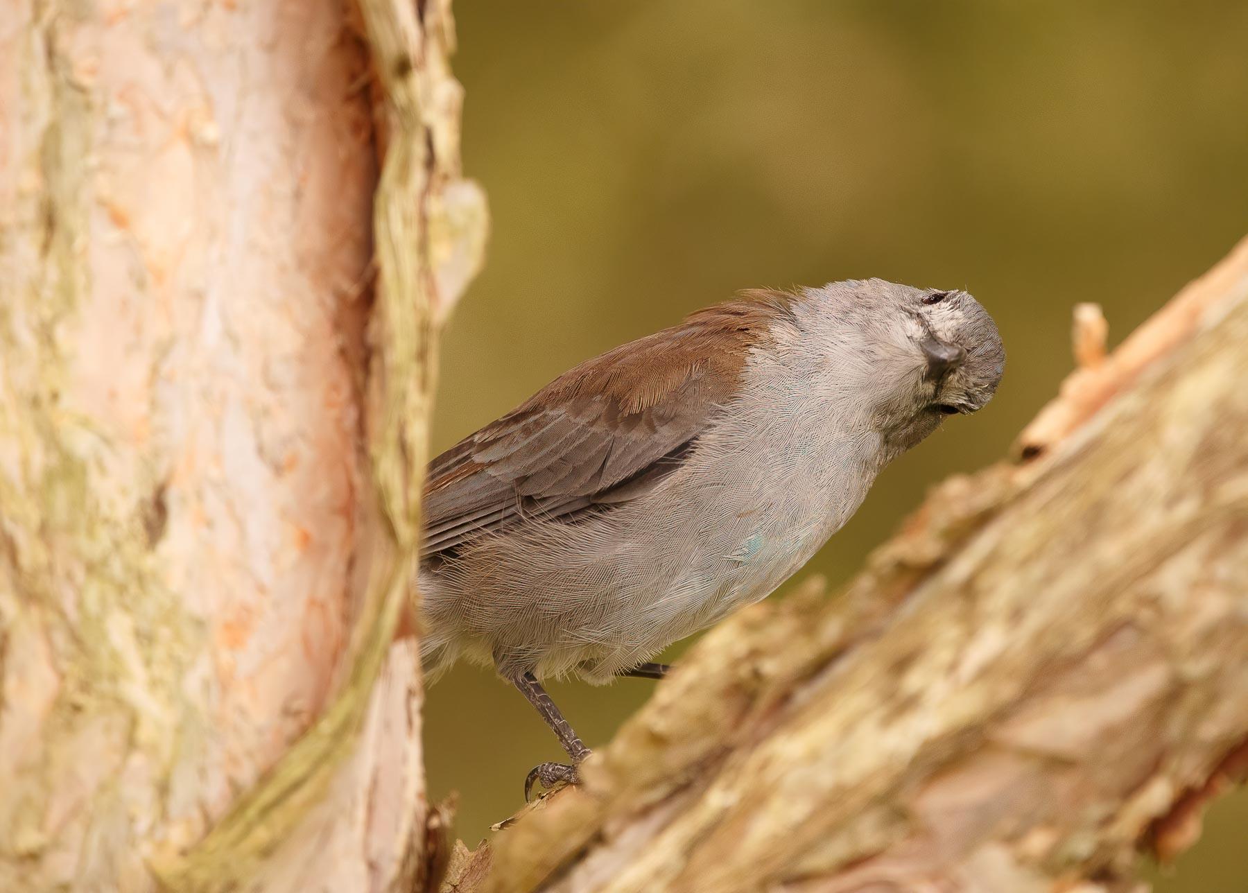 Grey Shrike-thrush (Image ID 44695)