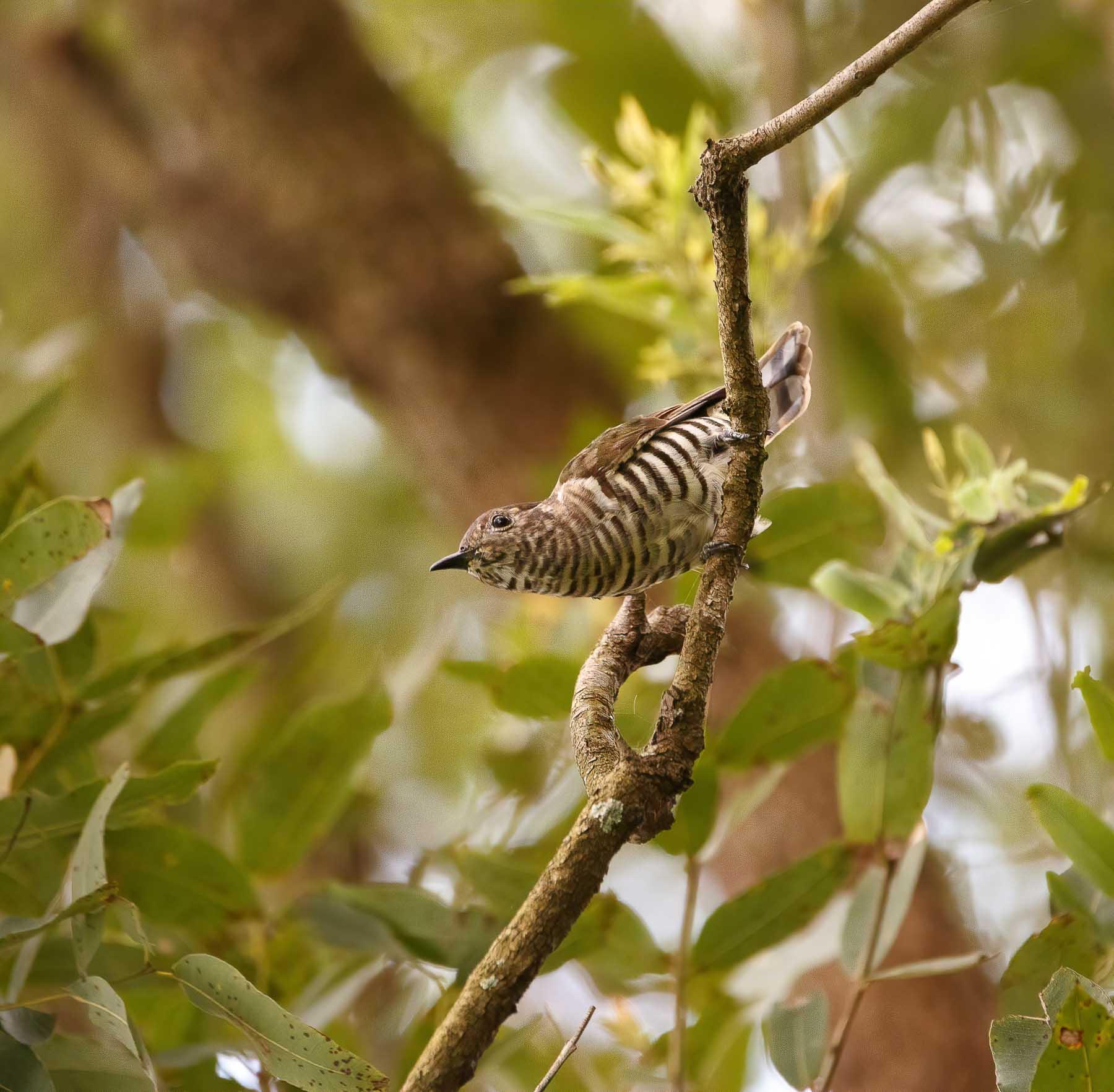 Shining Bronze-Cuckoo (Image ID 44696)