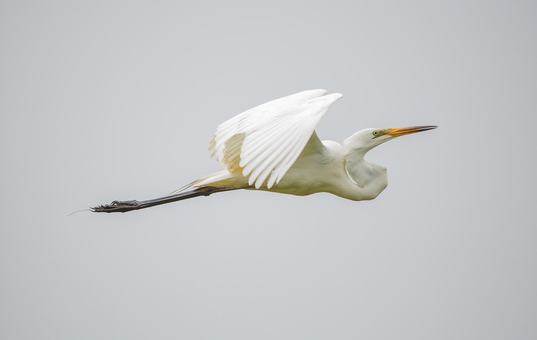 Great Egret (Image ID 45028)