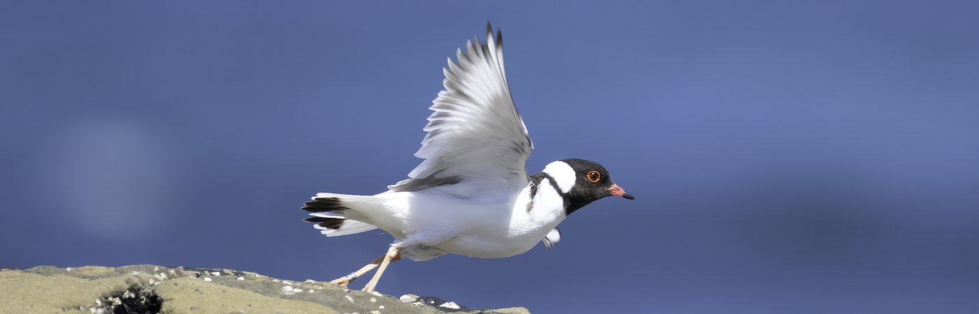 Hooded Plover (Image ID 44898)
