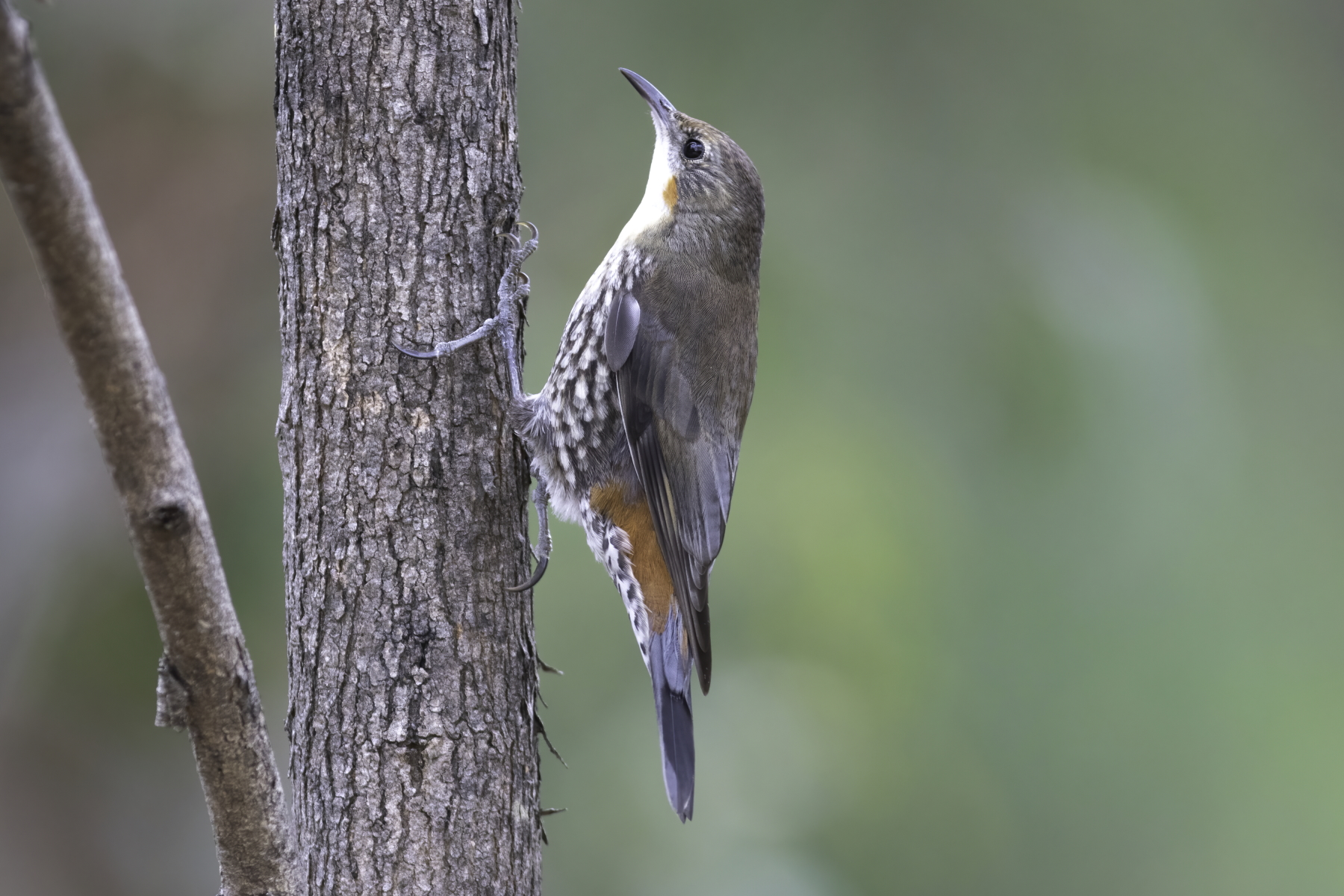 White-throated Treecreeper (Image ID 44796)