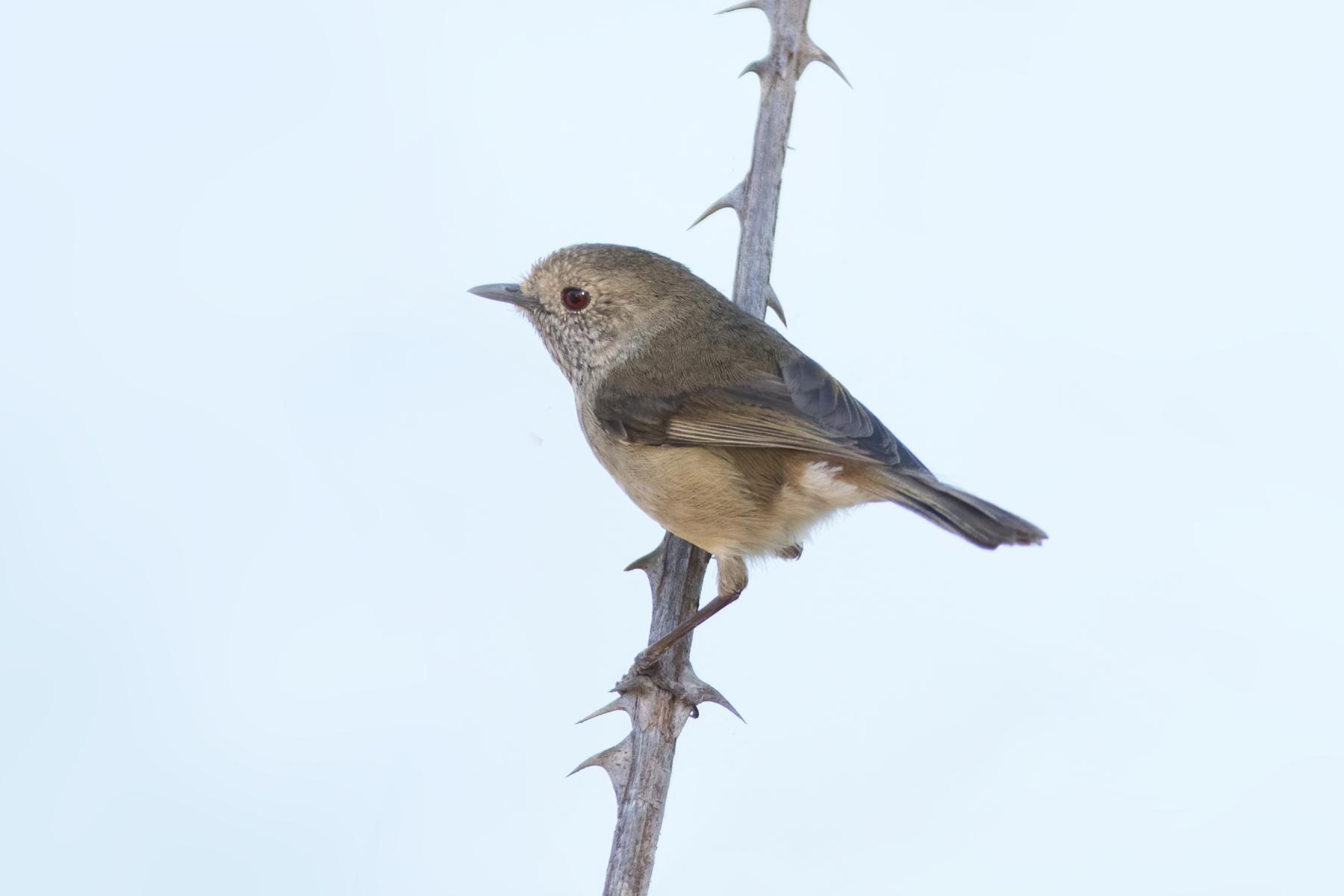Brown Thornbill (Image ID 45003)
