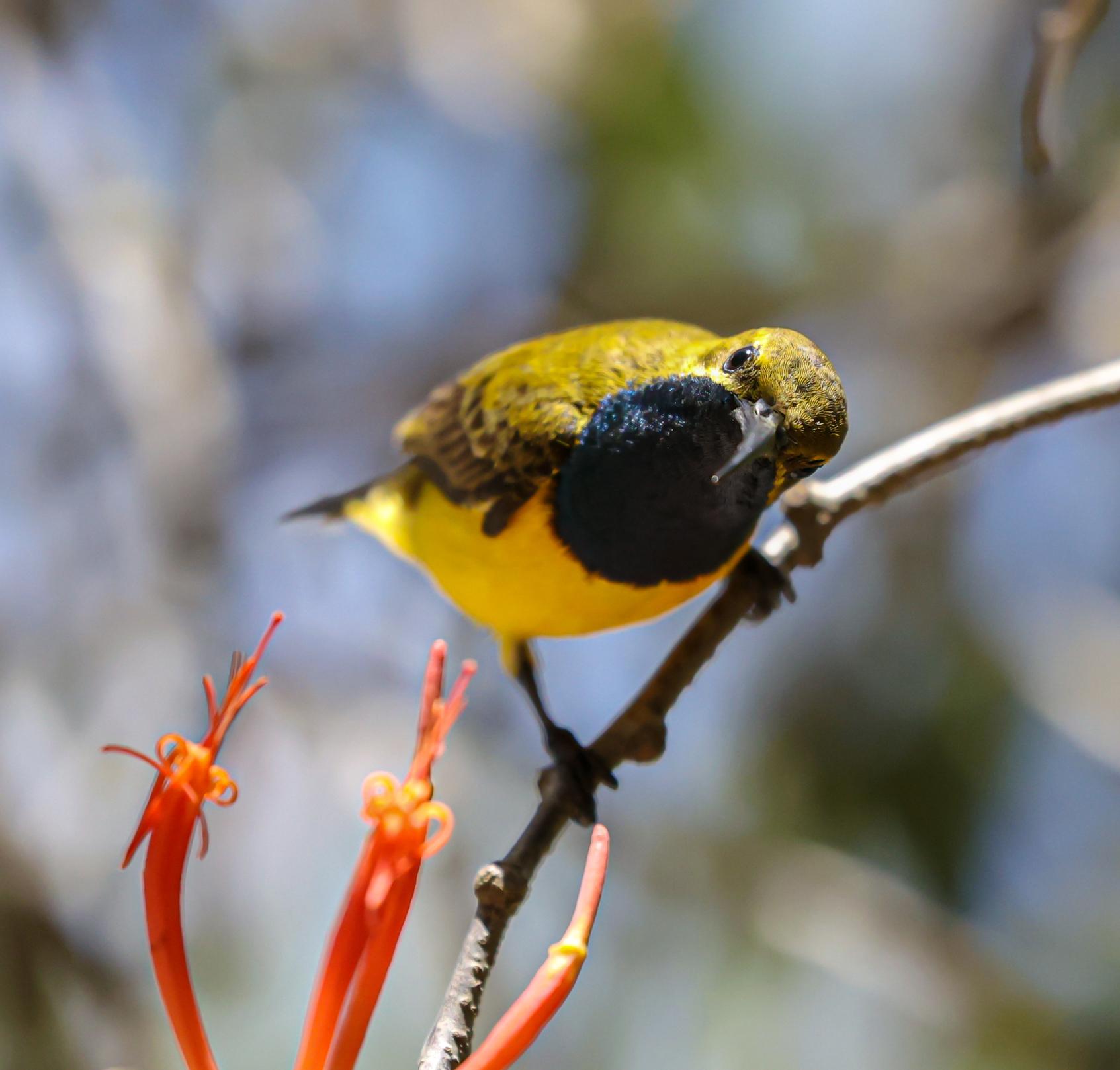 Olive-backed Sunbird (Image ID 44958)