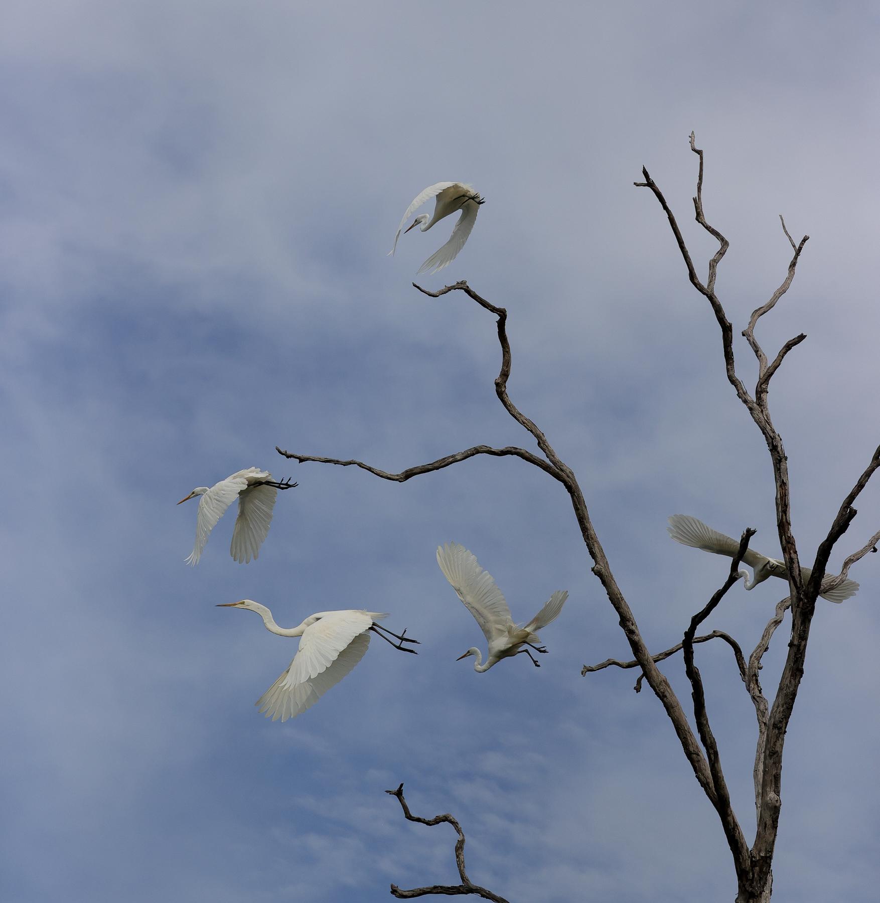 Great Egret (Image ID 44647)