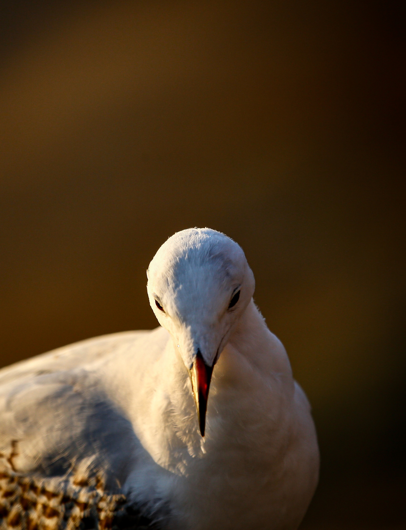 Silver Gull (Image ID 44948)