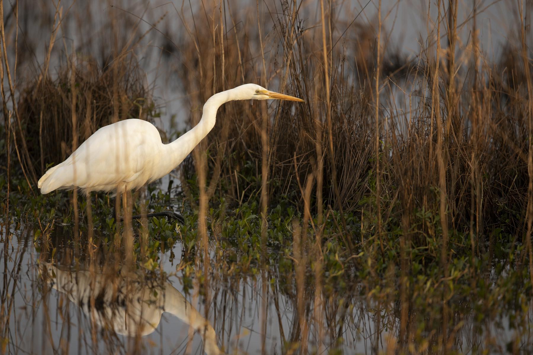 Great Egret (Image ID 44860)