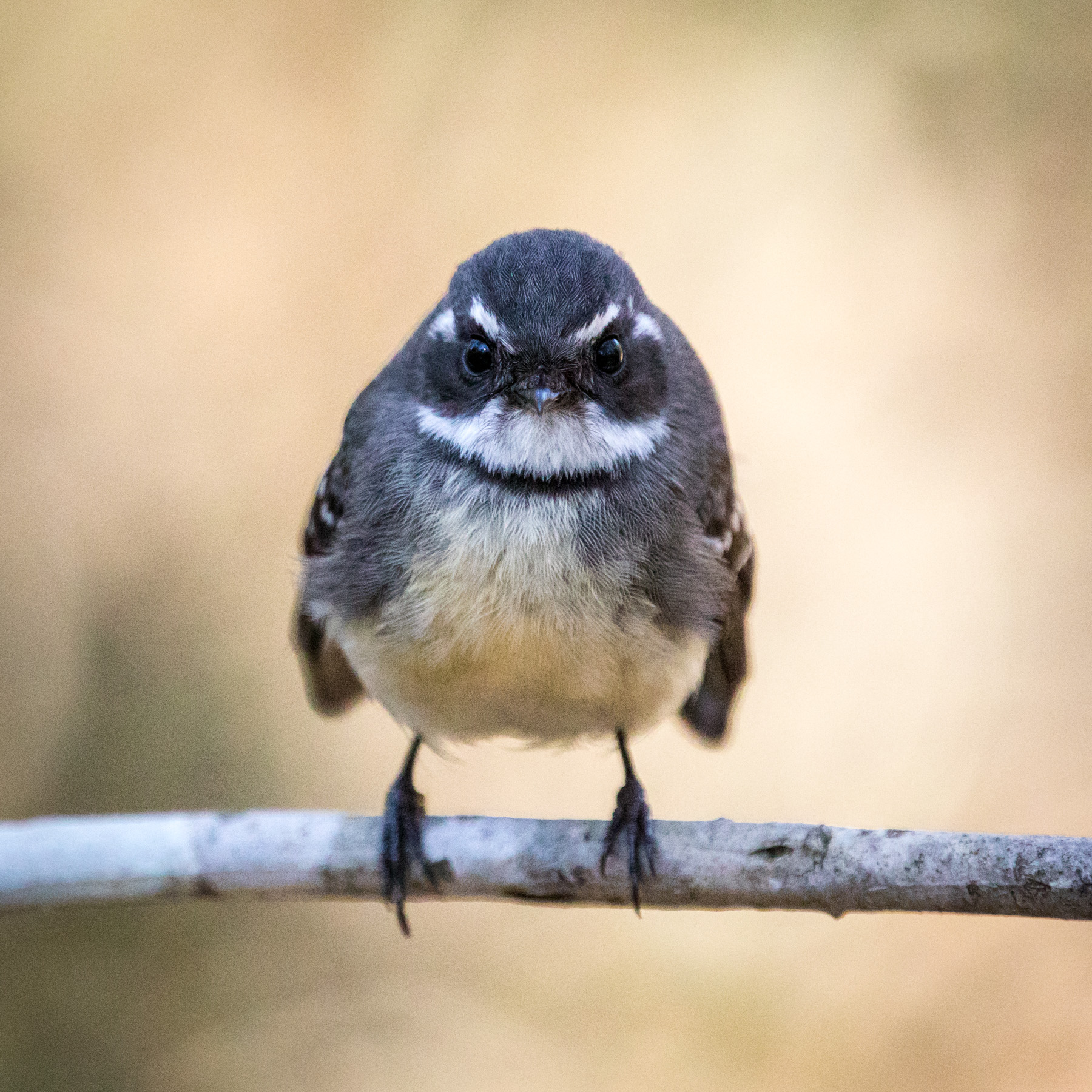 Grey Fantail (Image ID 44673)